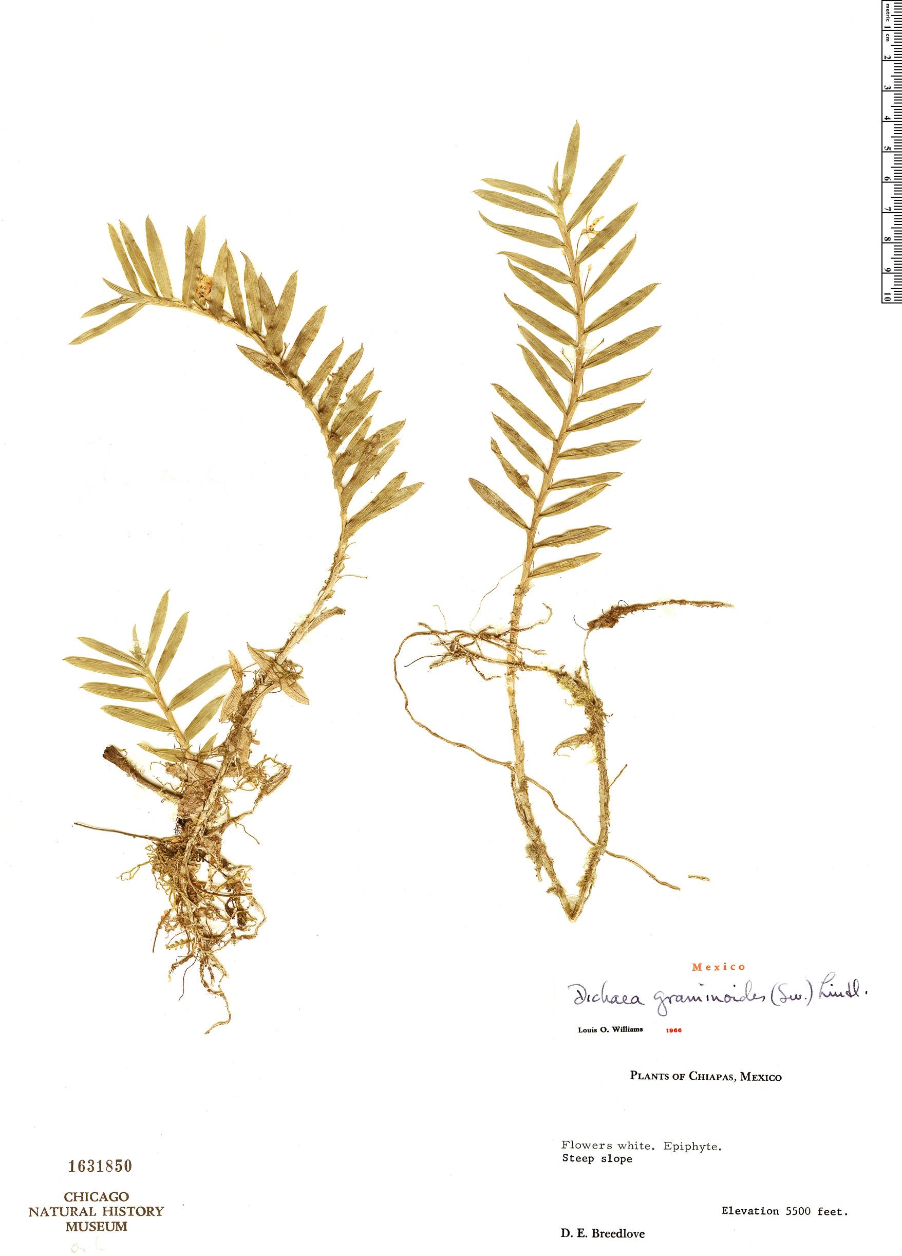 Specimen: Dichaea graminoides