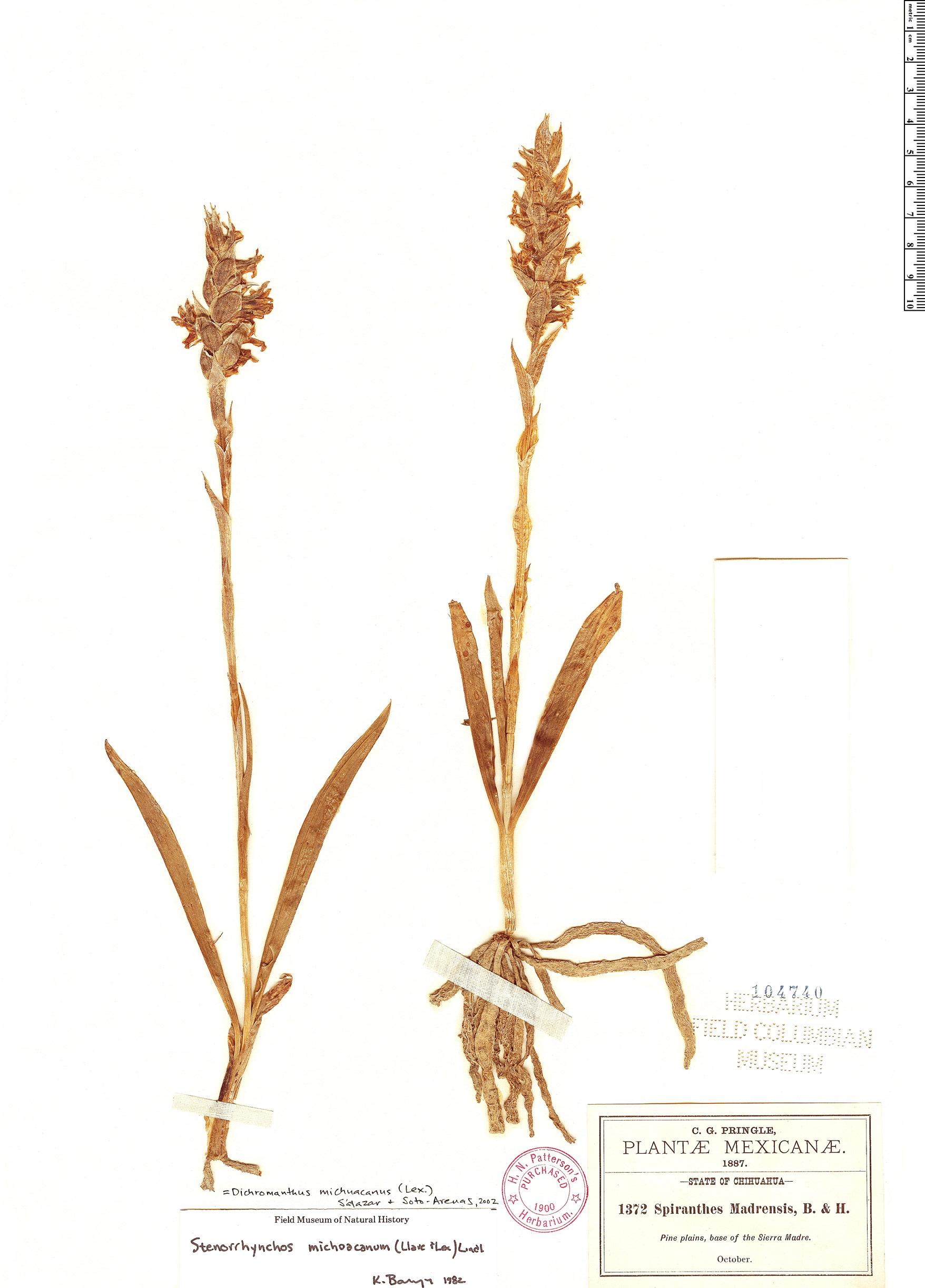 Specimen: Dichromanthus michuacanus