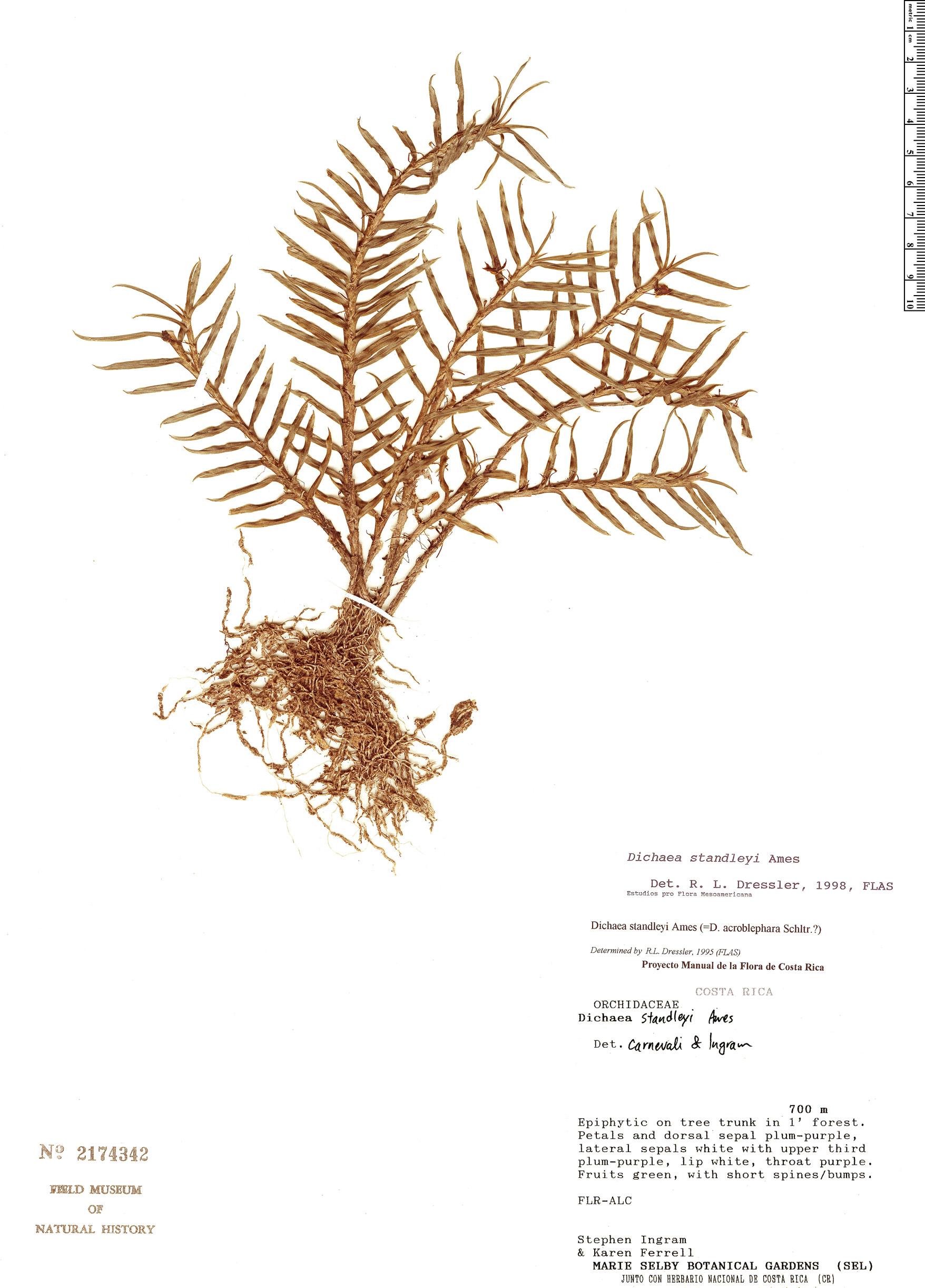 Specimen: Dichaea acroblephara