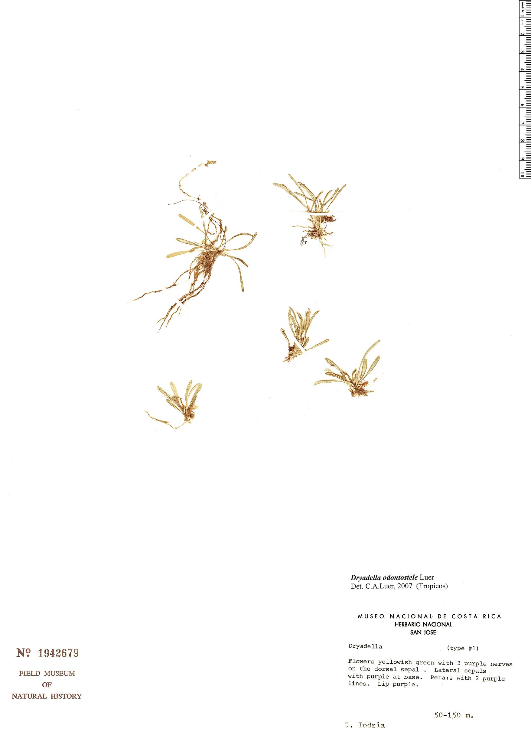 Specimen: Dryadella odontostele