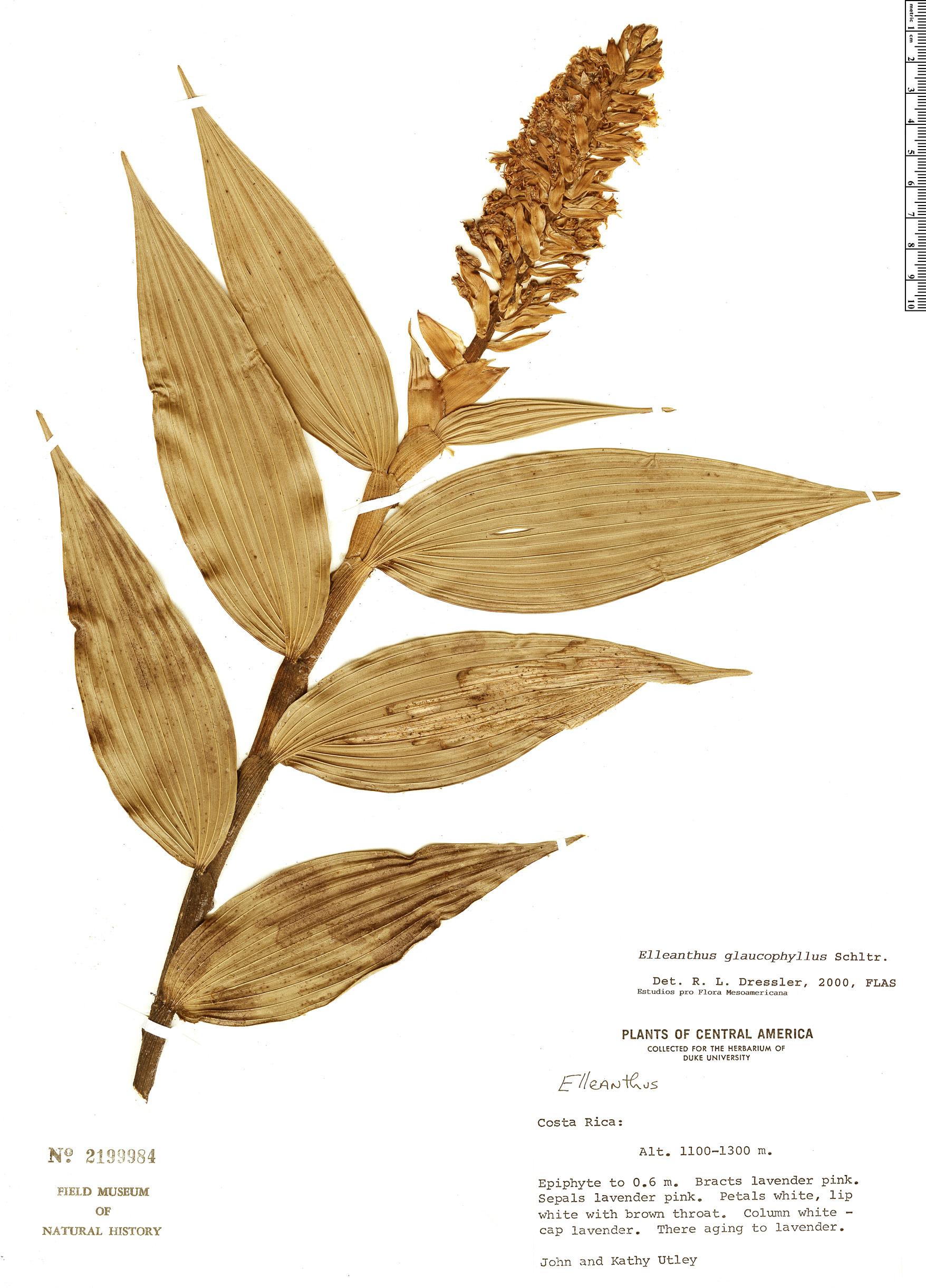 Specimen: Elleanthus glaucophyllus