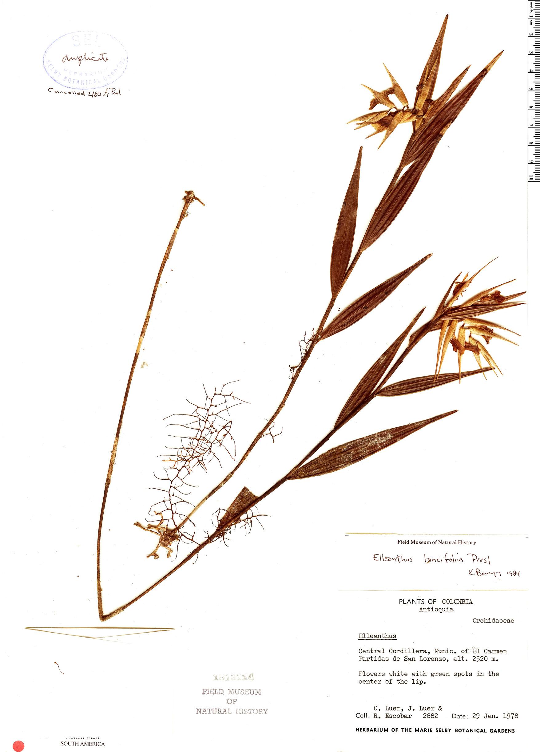 Specimen: Elleanthus lancifolius
