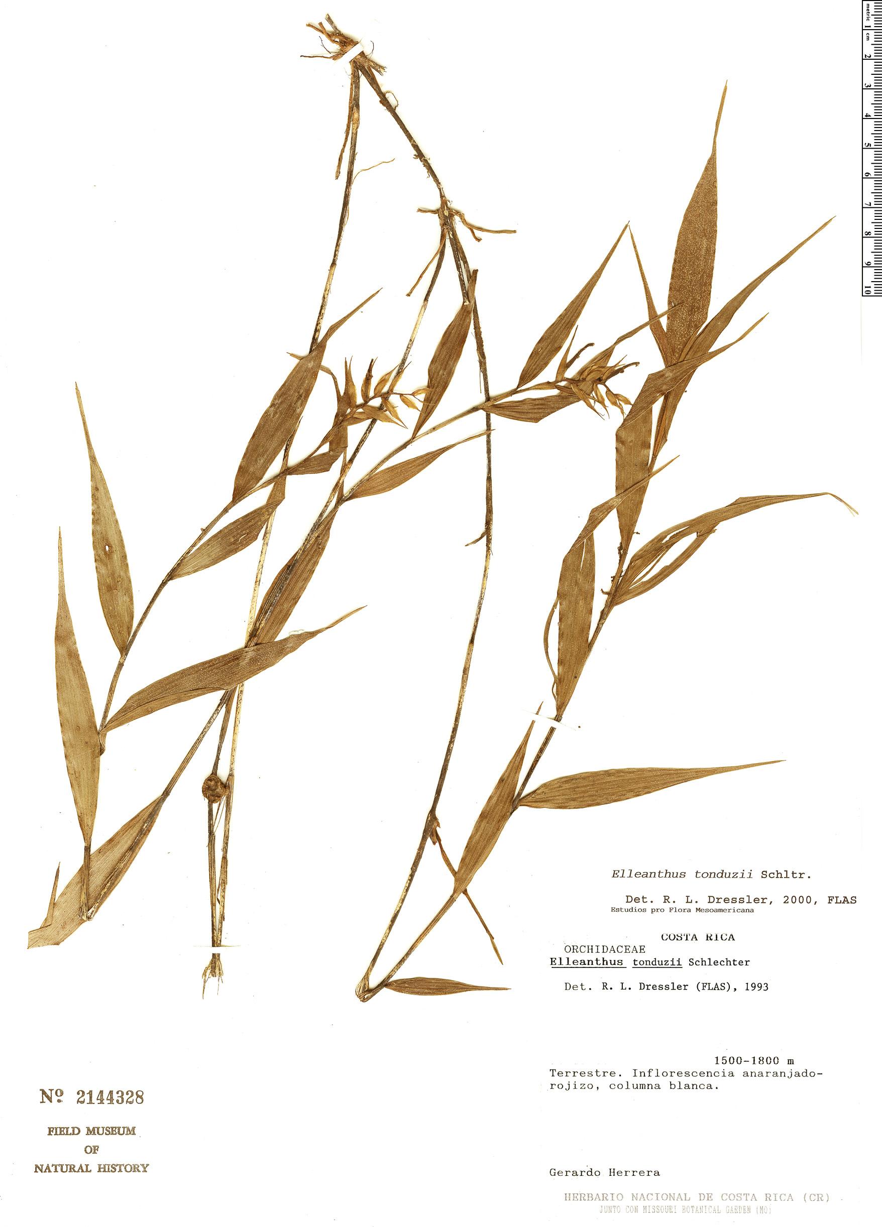 Specimen: Elleanthus tonduzii