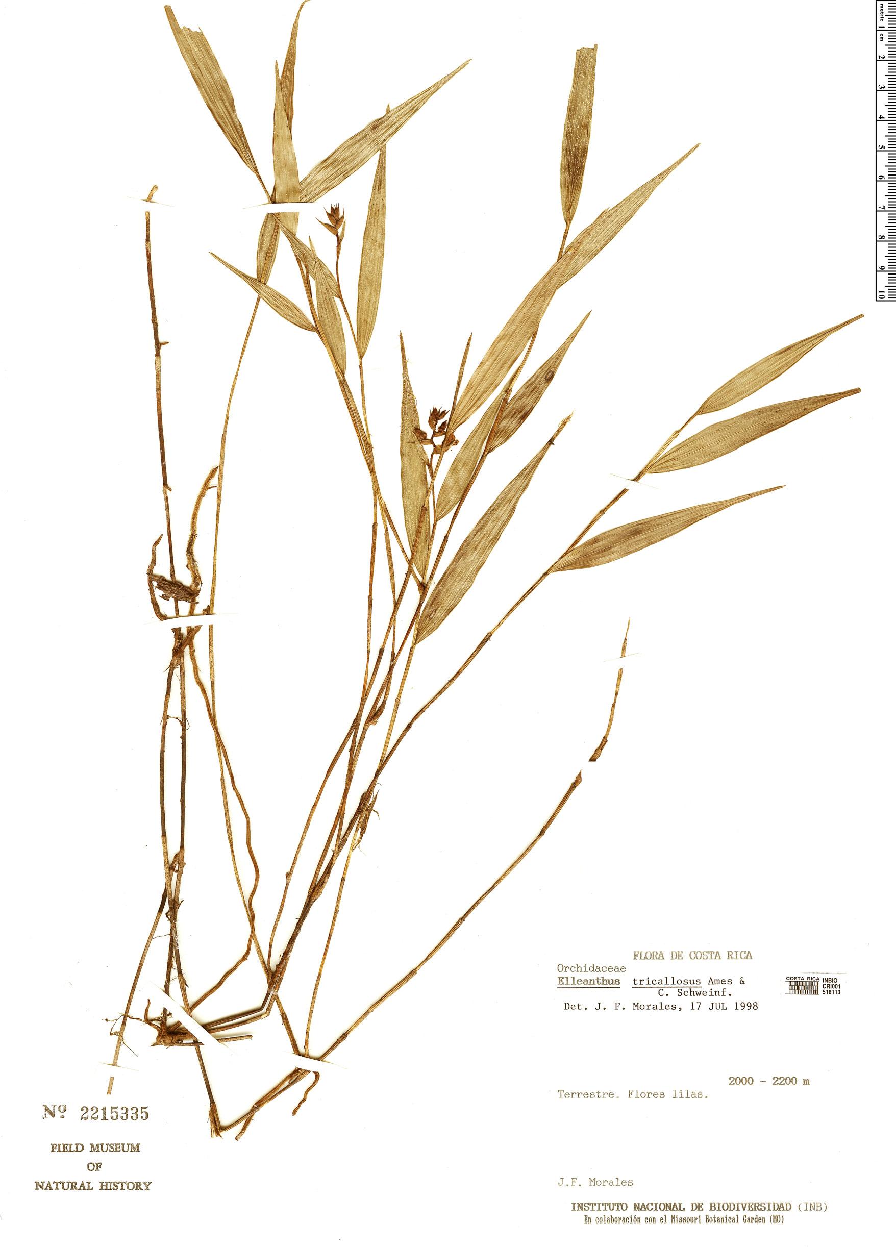 Specimen: Elleanthus tricallosus
