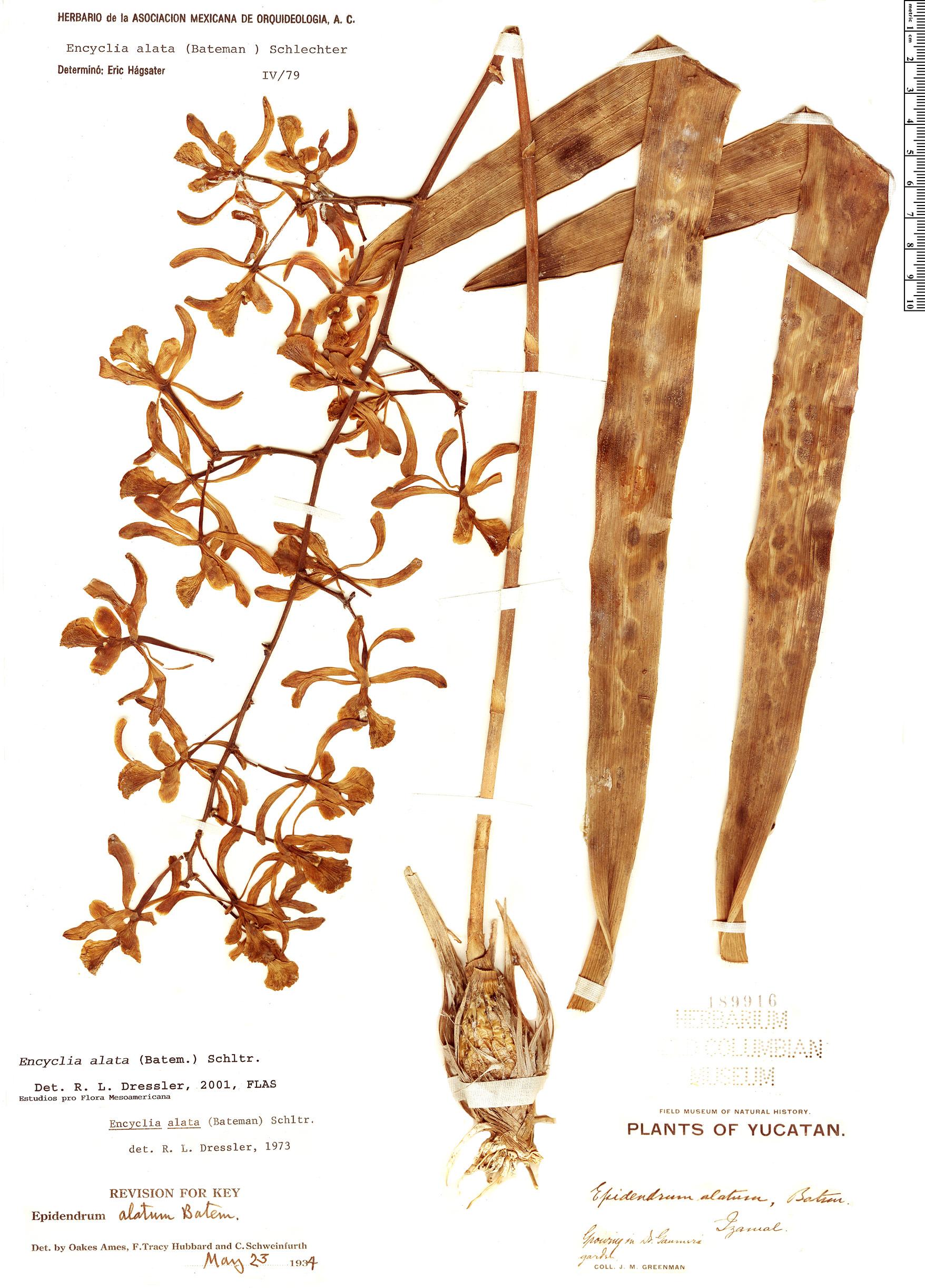 Specimen: Encyclia alata