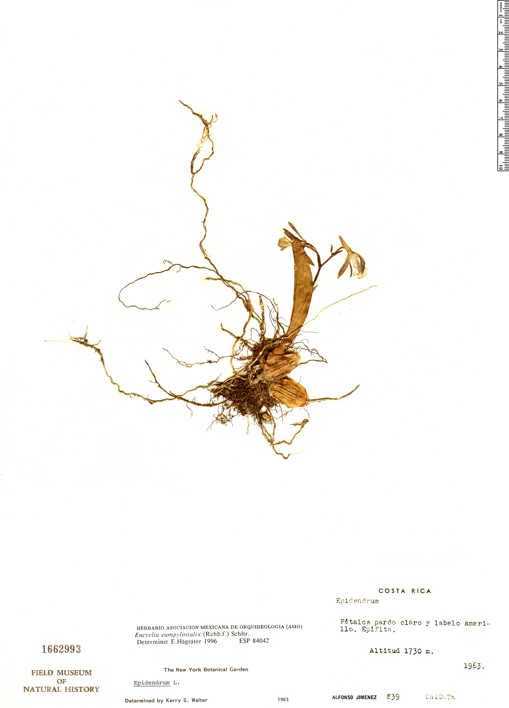 Specimen: Prosthechea campylostalix