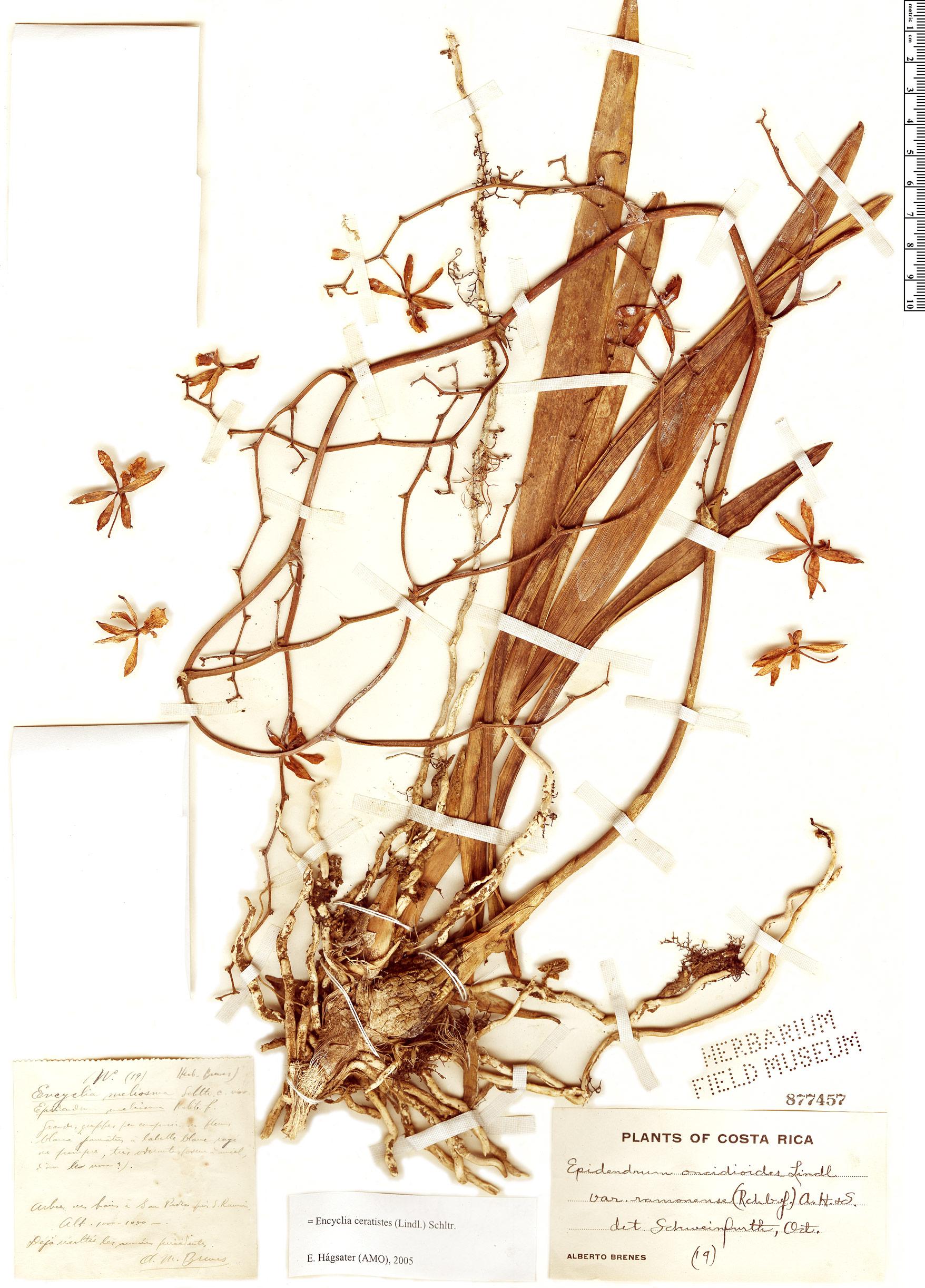 Specimen: Encyclia ceratistes