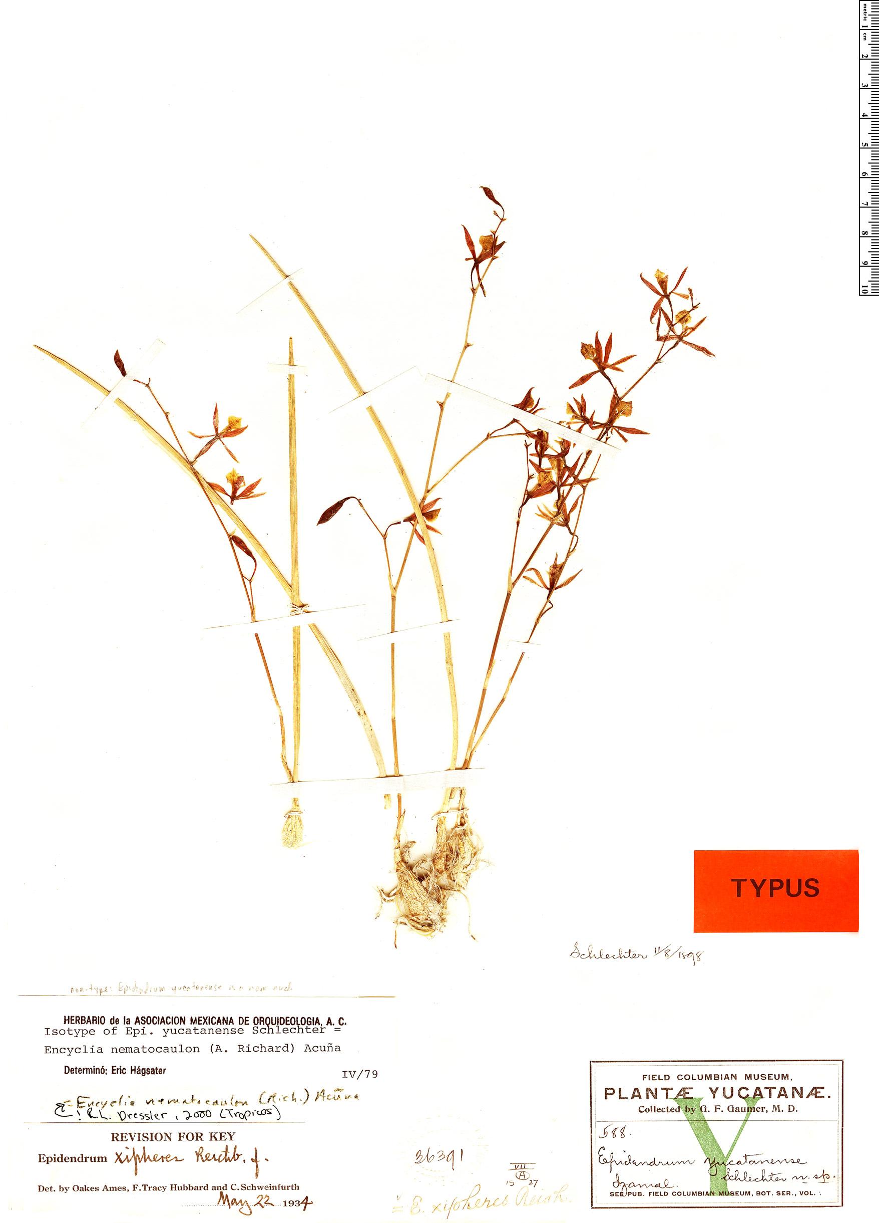 Specimen: Encyclia nematocaulon