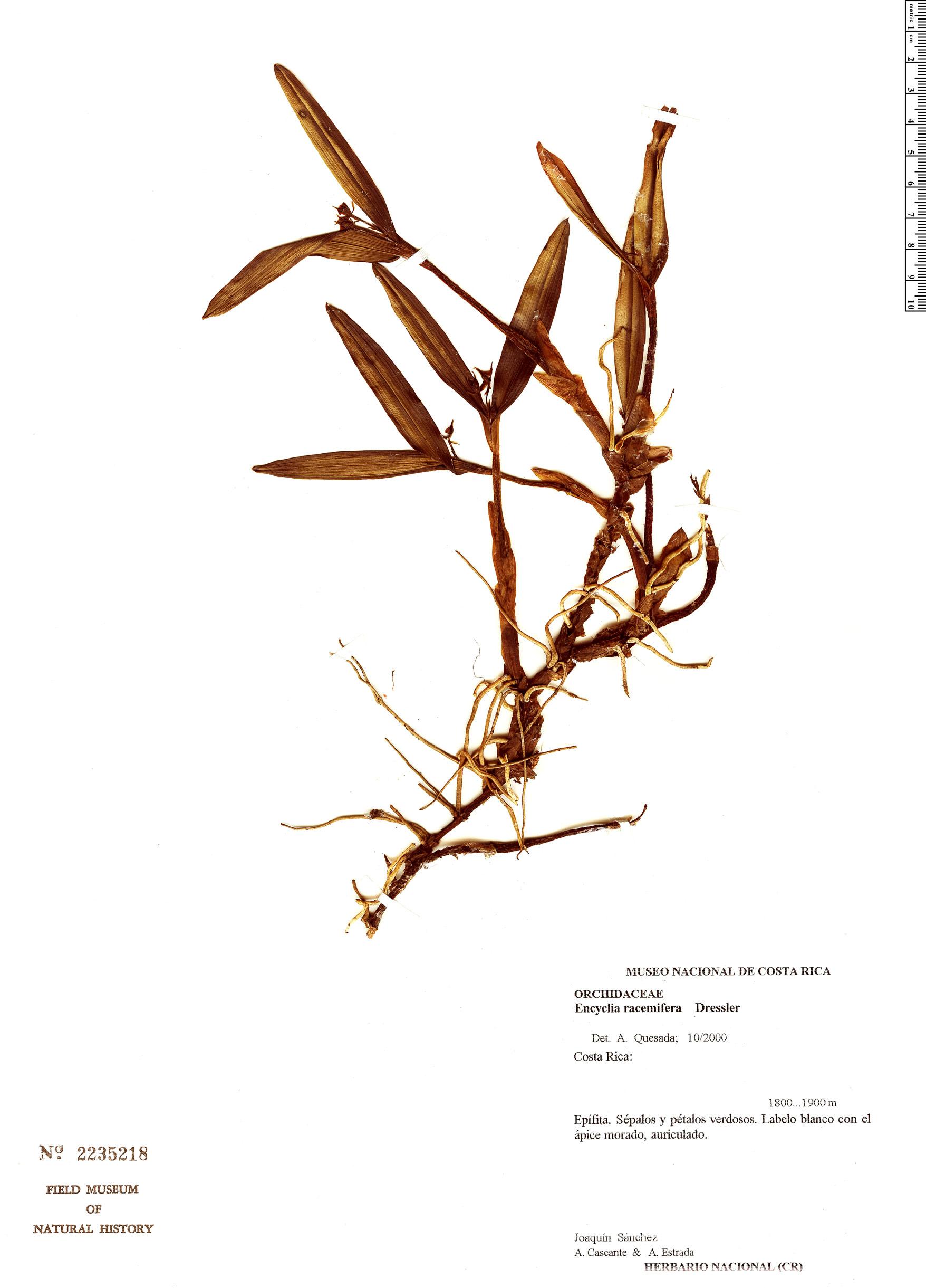 Specimen: Prosthechea racemifera
