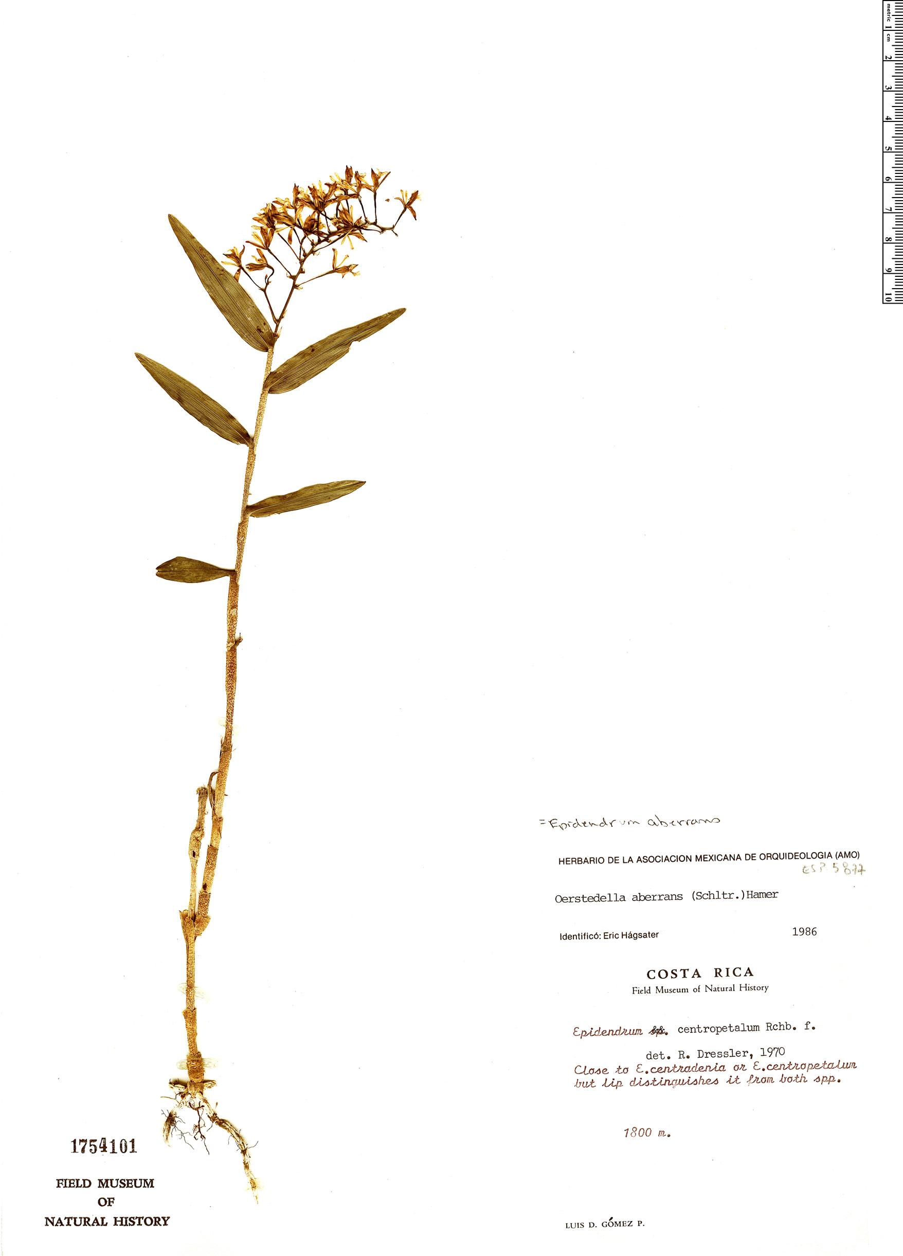 Specimen: Epidendrum aberrans