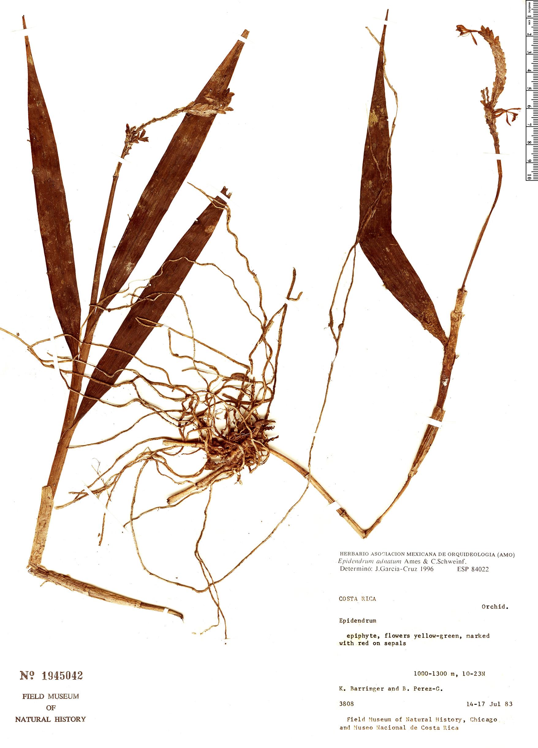 Specimen: Epidendrum adnatum