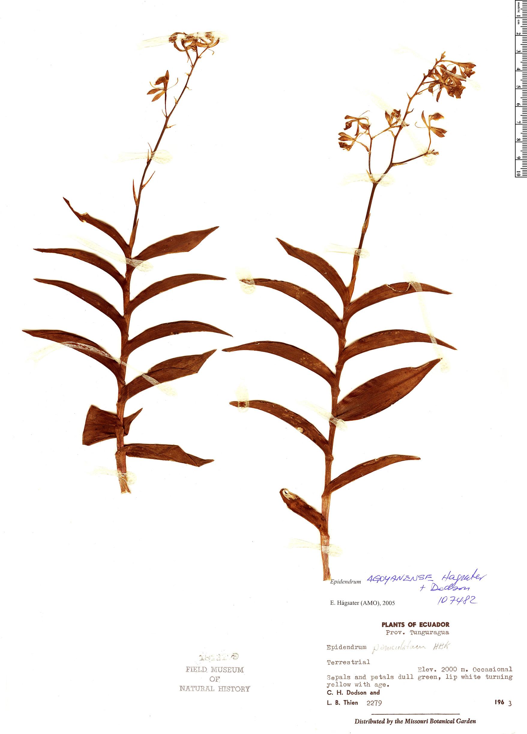 Specimen: Epidendrum agoyanense