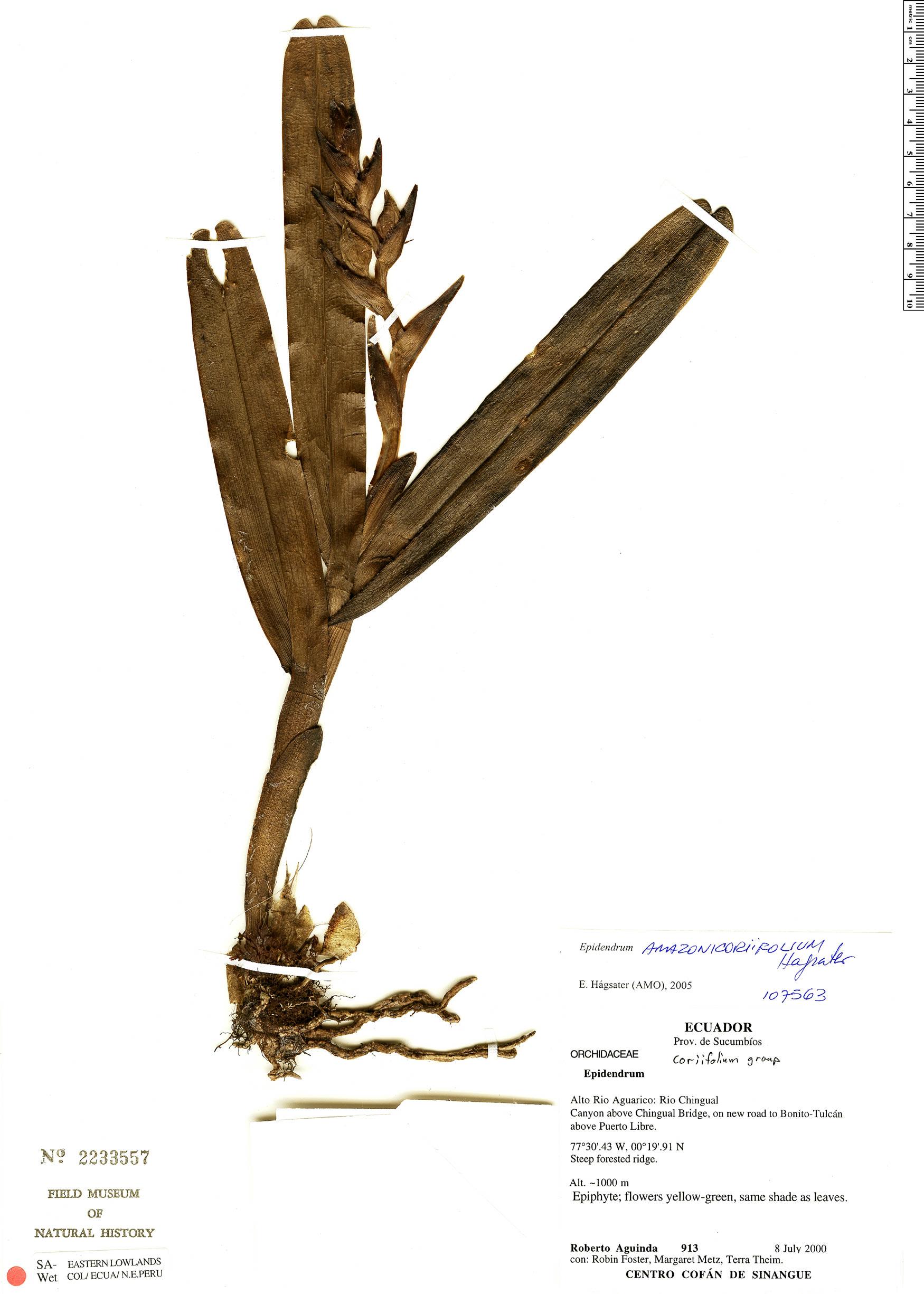 Specimen: Epidendrum amazonicoriifolium