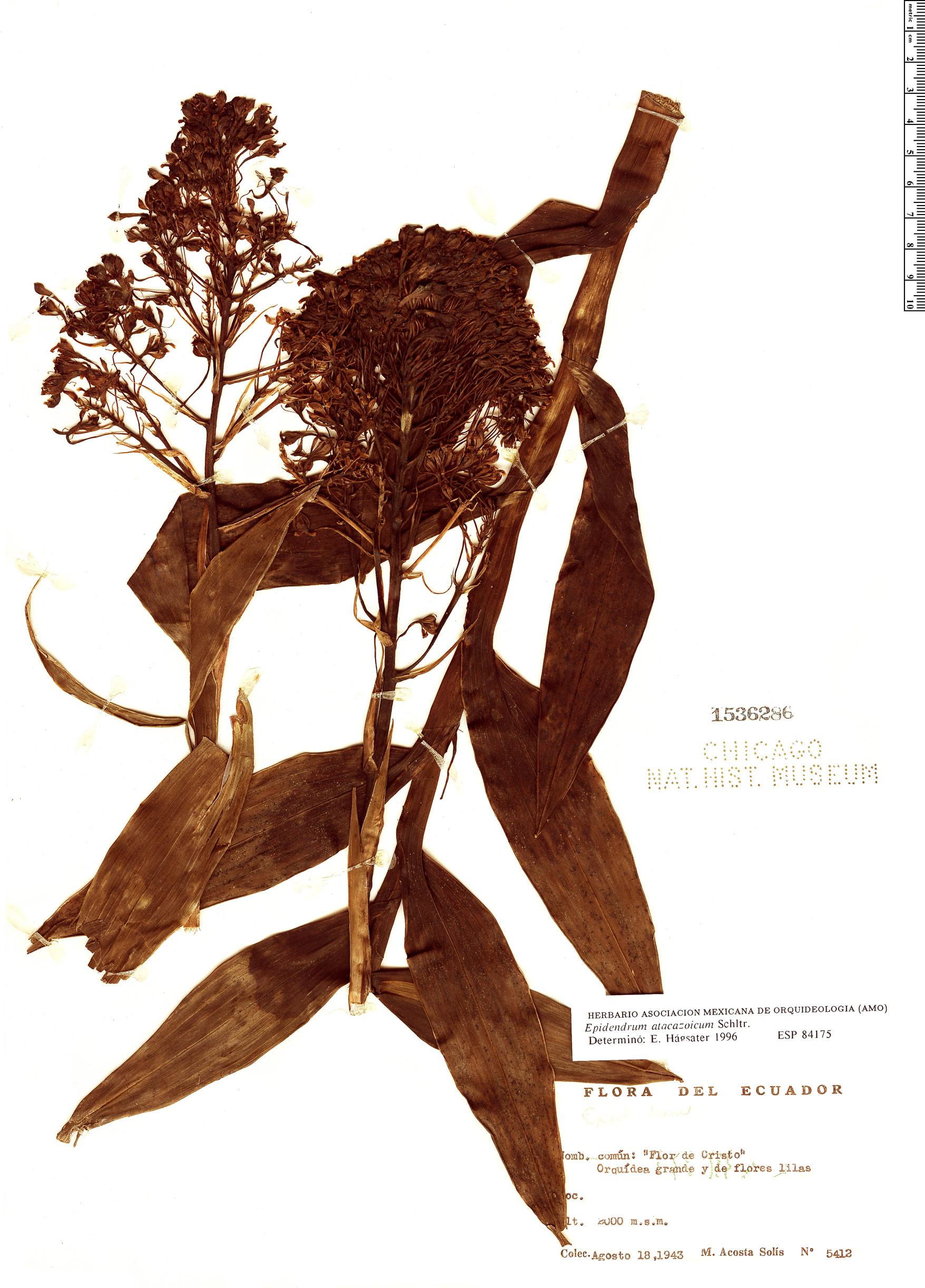 Specimen: Epidendrum atacazoicum
