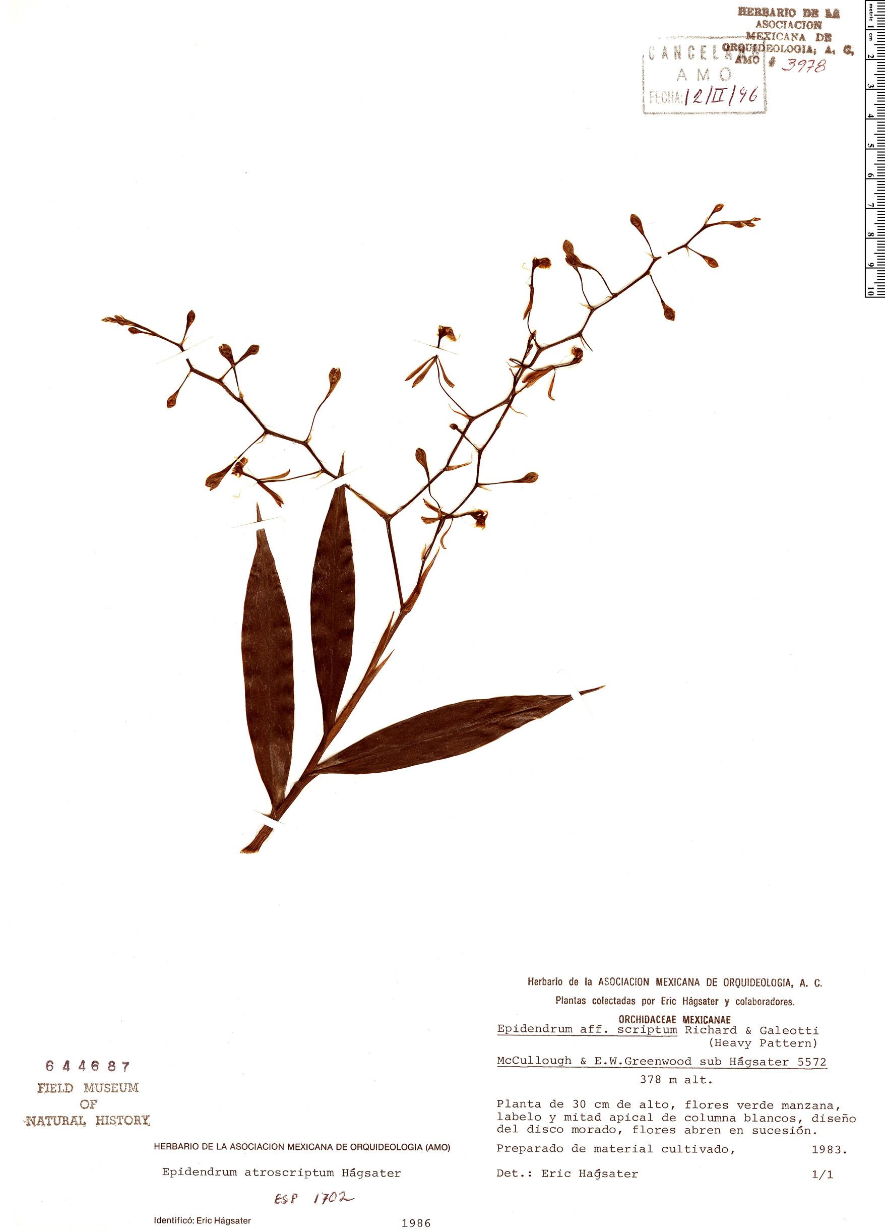 Specimen: Epidendrum atroscriptum