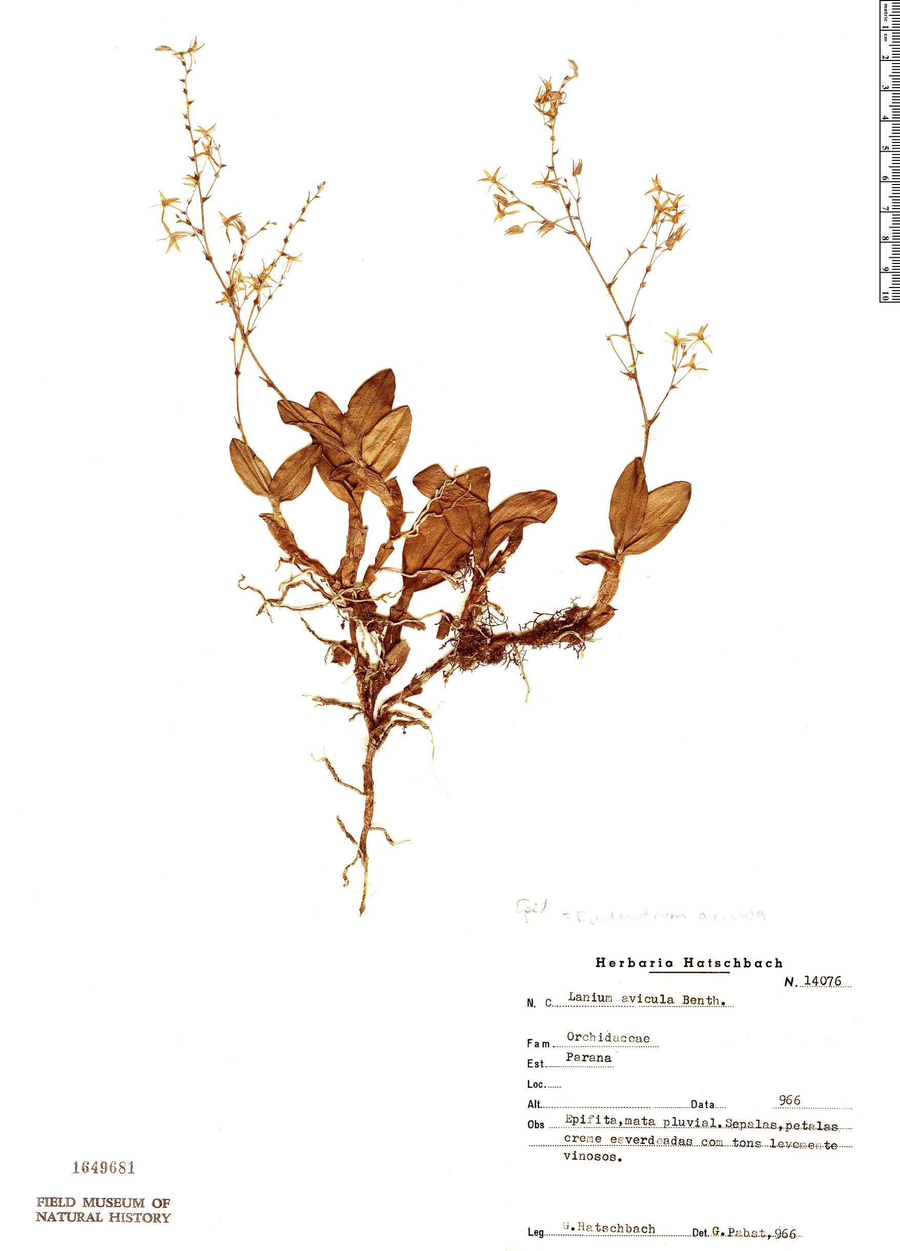 Specimen: Epidendrum avicula