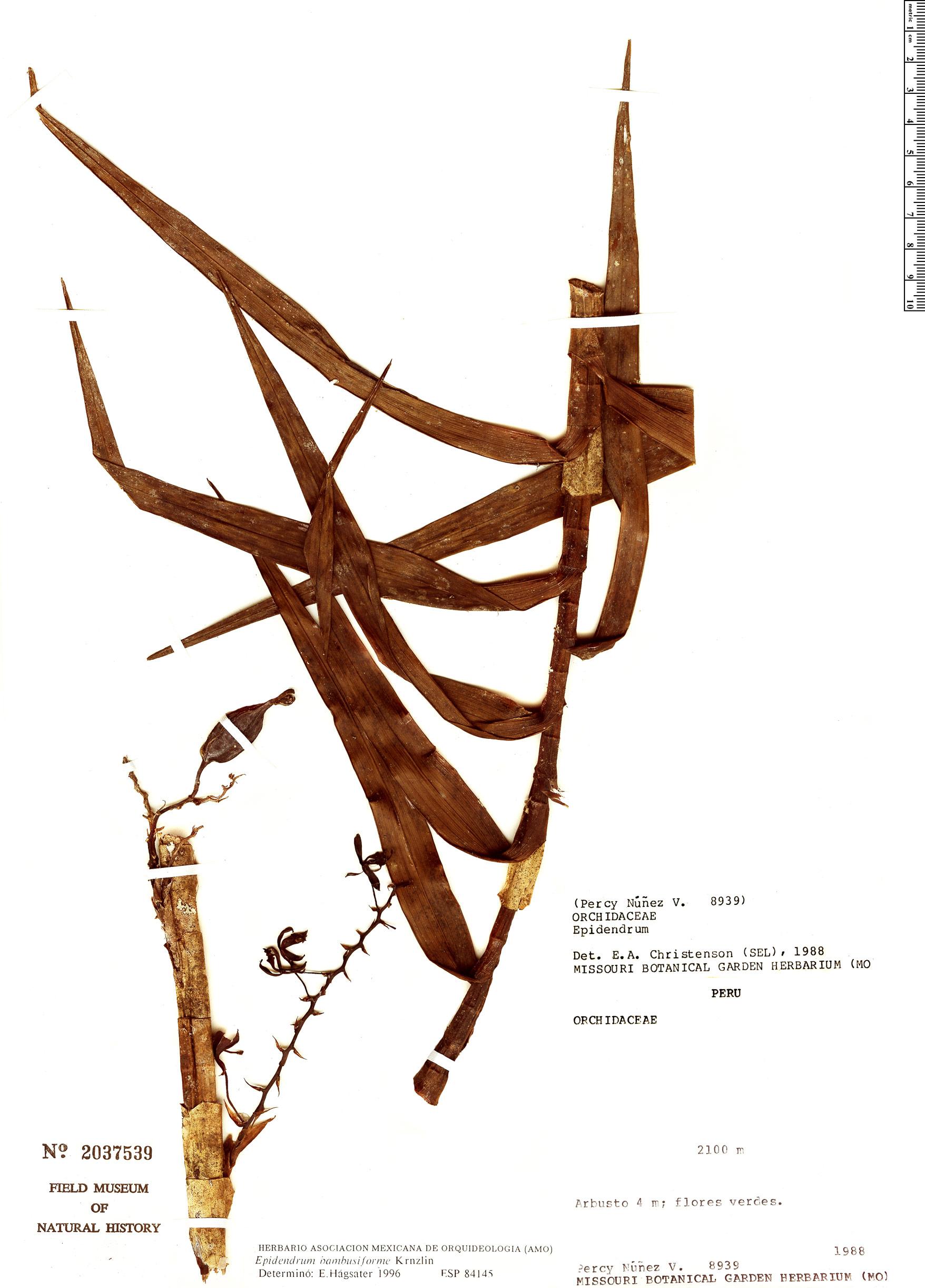 Specimen: Epidendrum bambusiforme