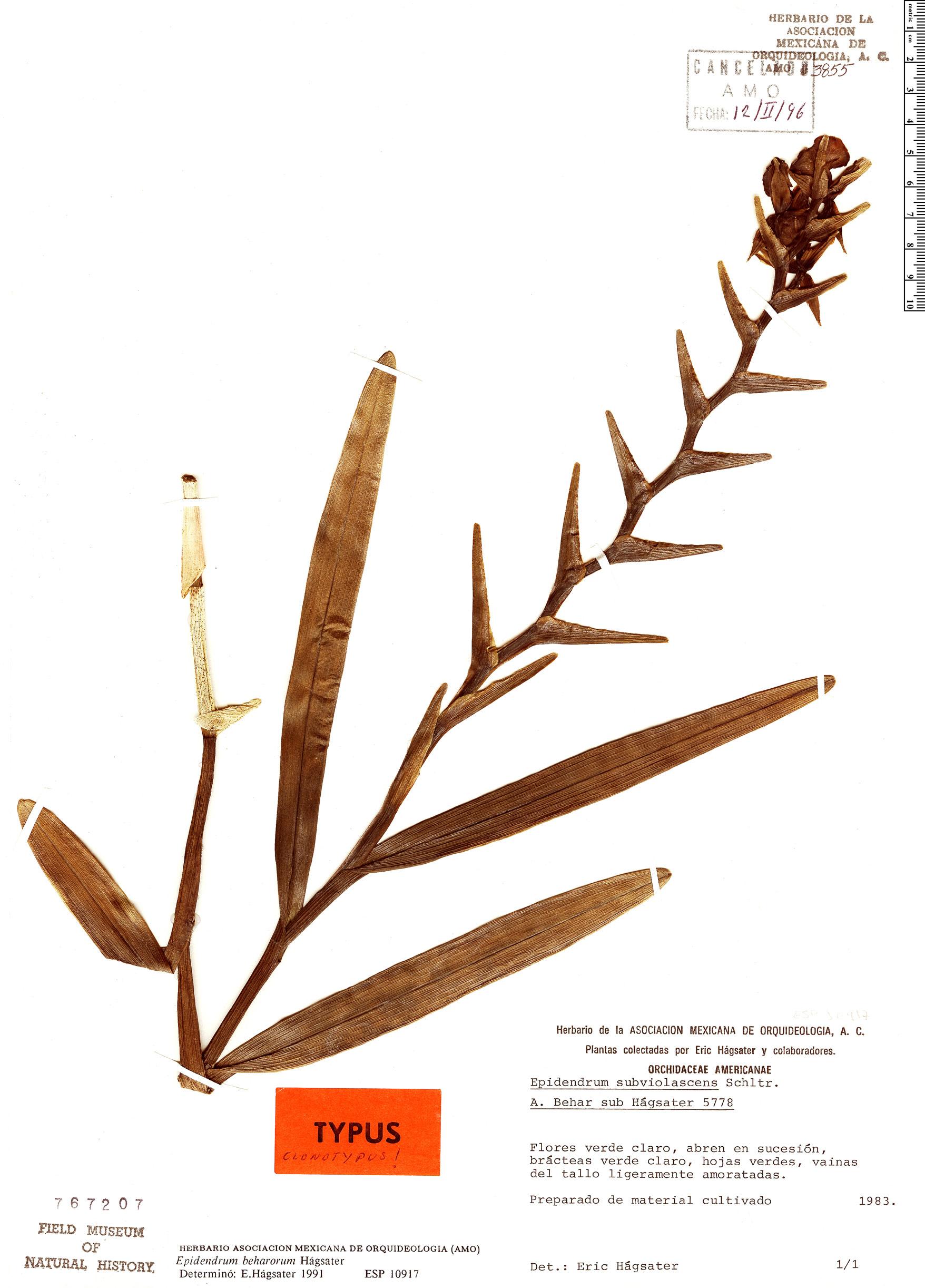 Specimen: Epidendrum beharorum
