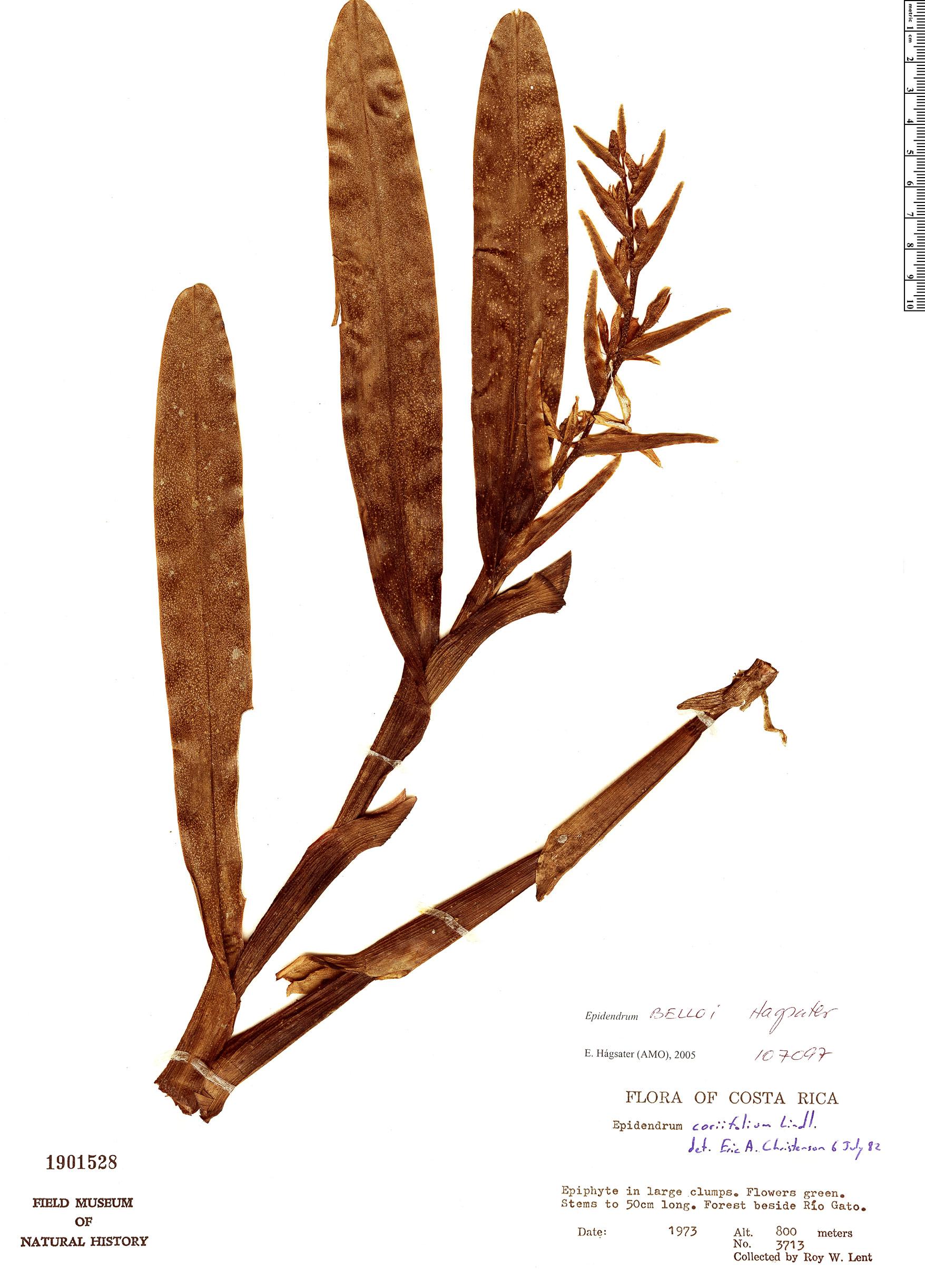 Specimen: Epidendrum belloi