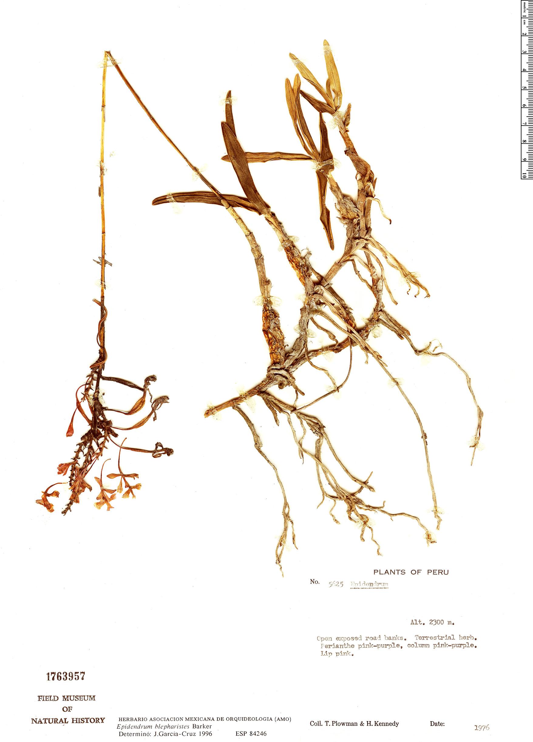 Specimen: Epidendrum blepharistes