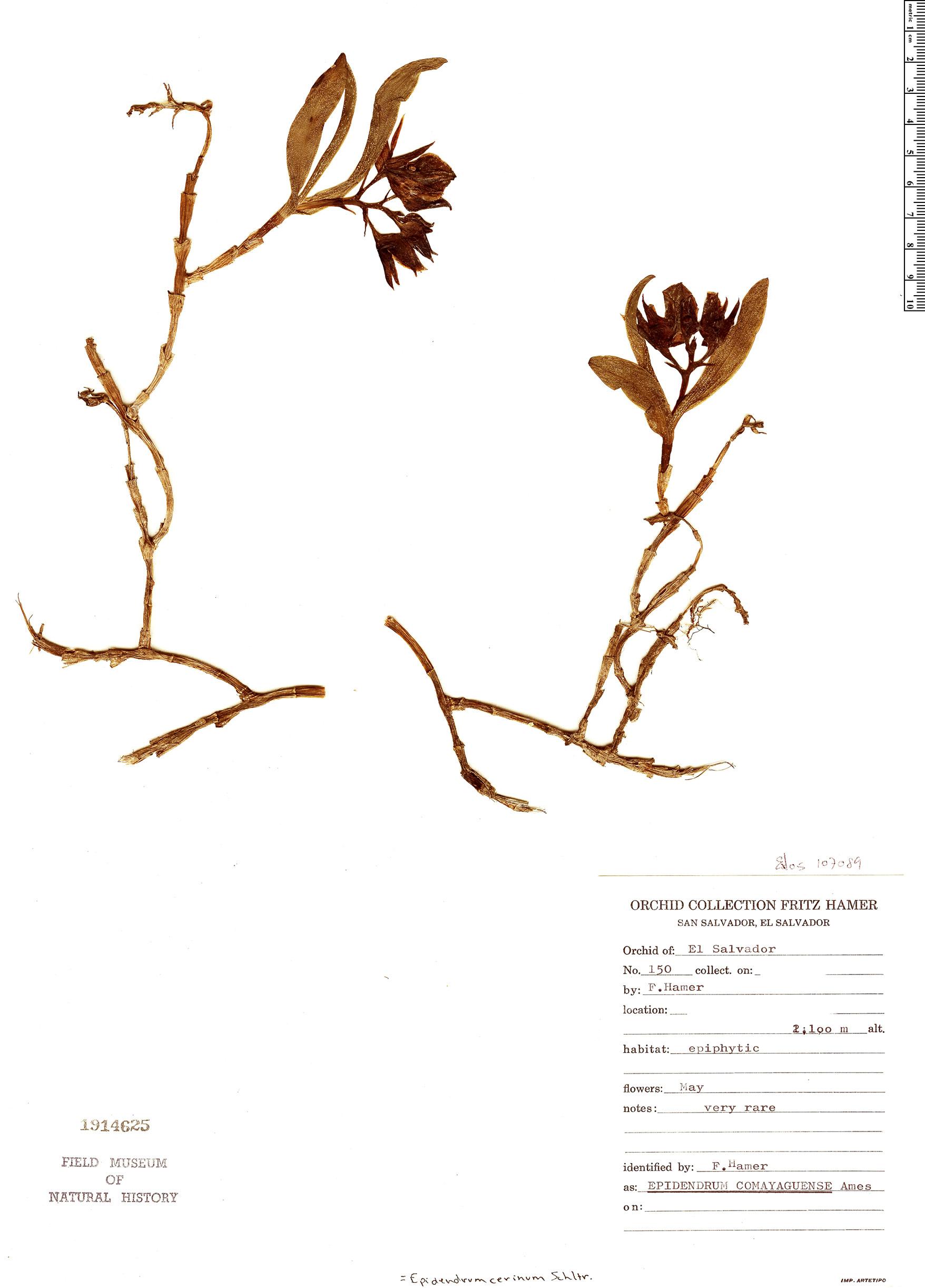 Specimen: Epidendrum cerinum
