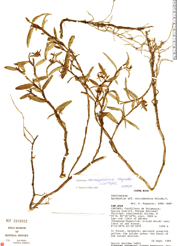 Specimen: Epidendrum chirripoense