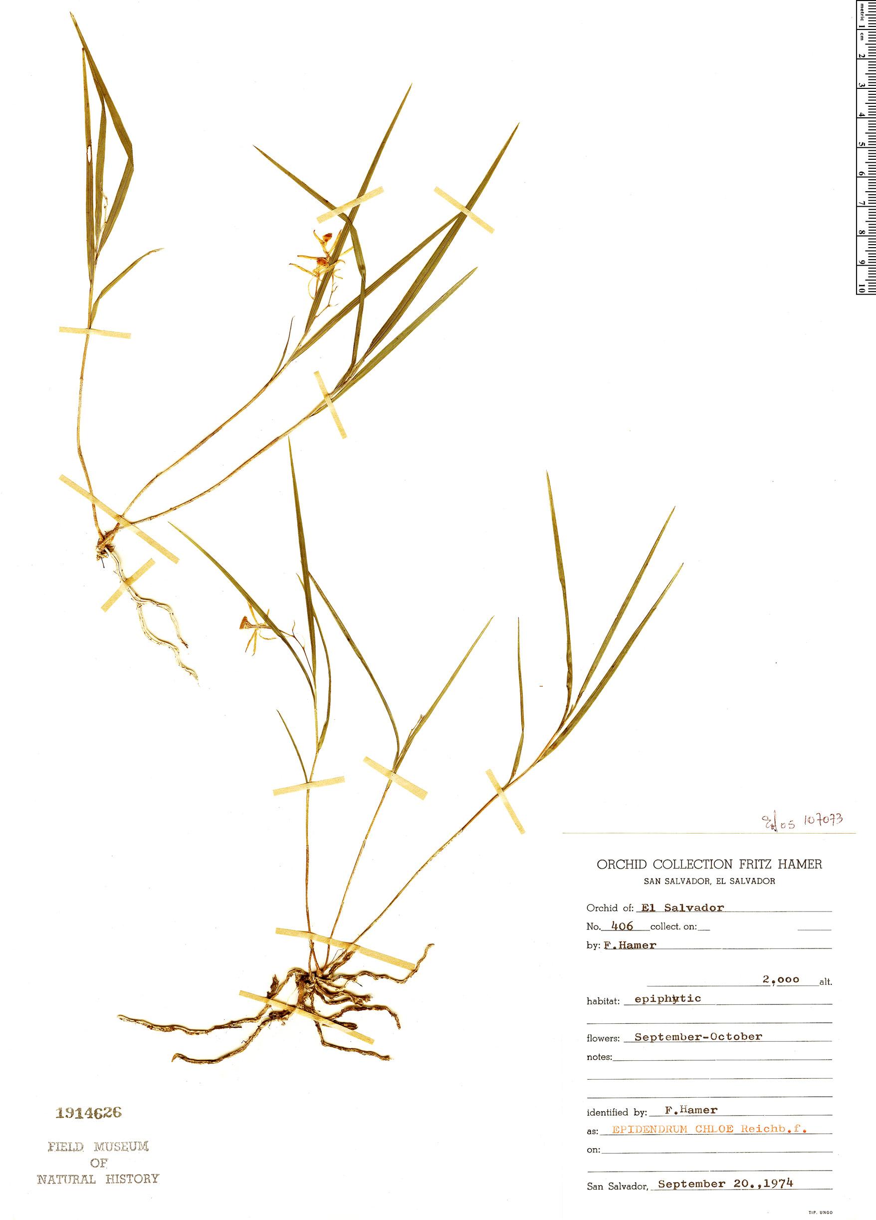 Specimen: Epidendrum culmiforme