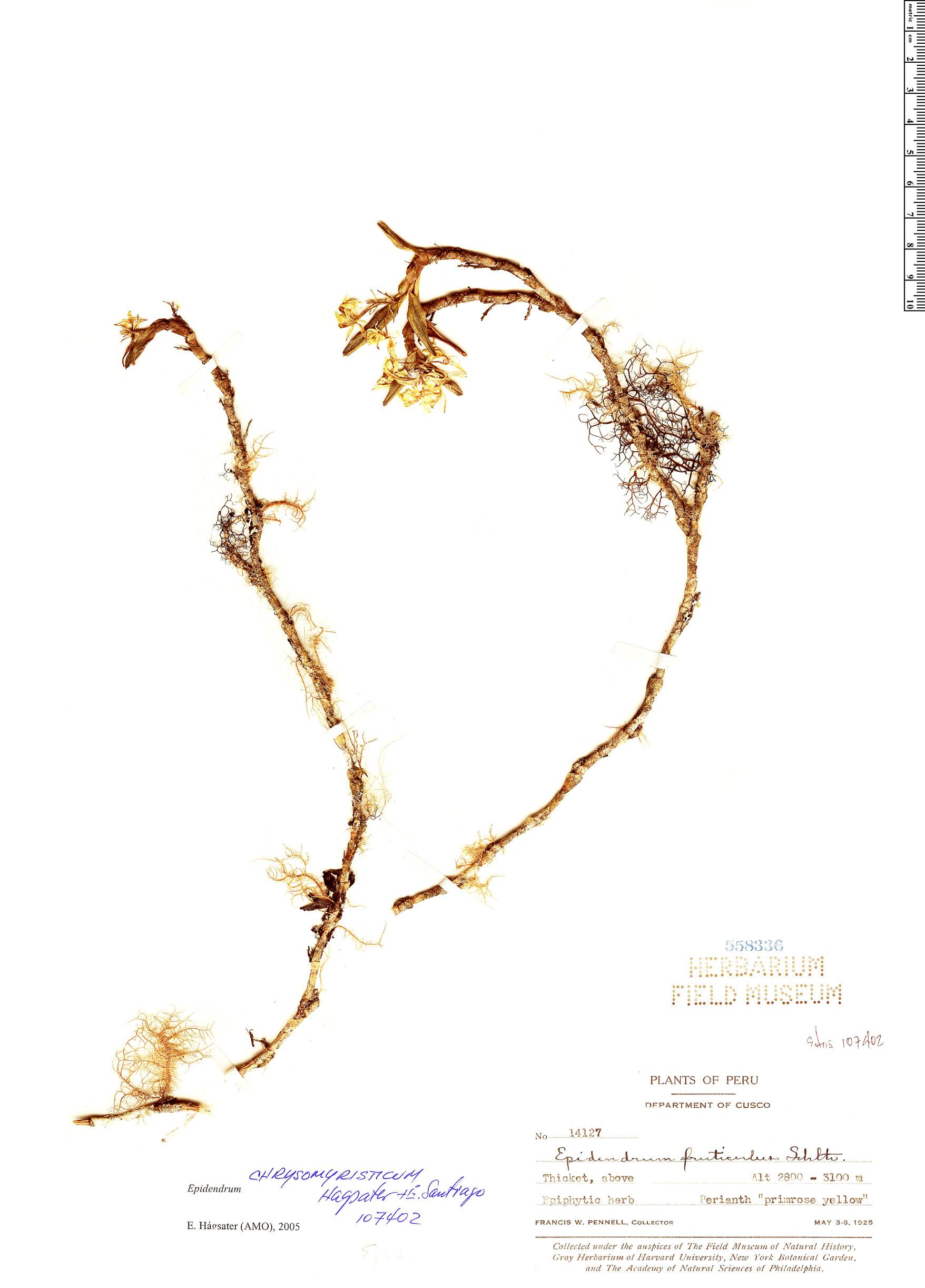 Specimen: Epidendrum chrysomyristicum