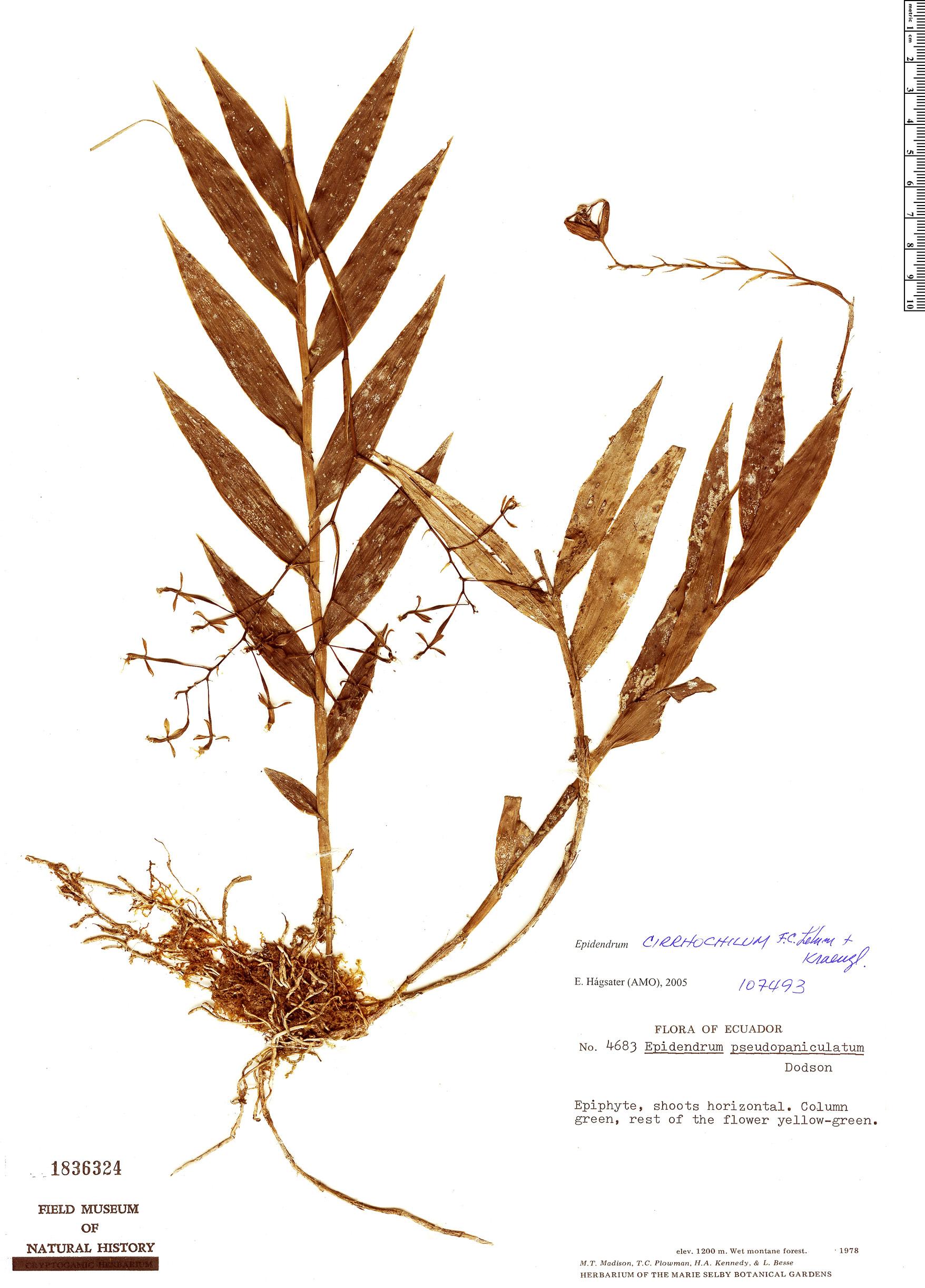 Specimen: Epidendrum cirrhochilum