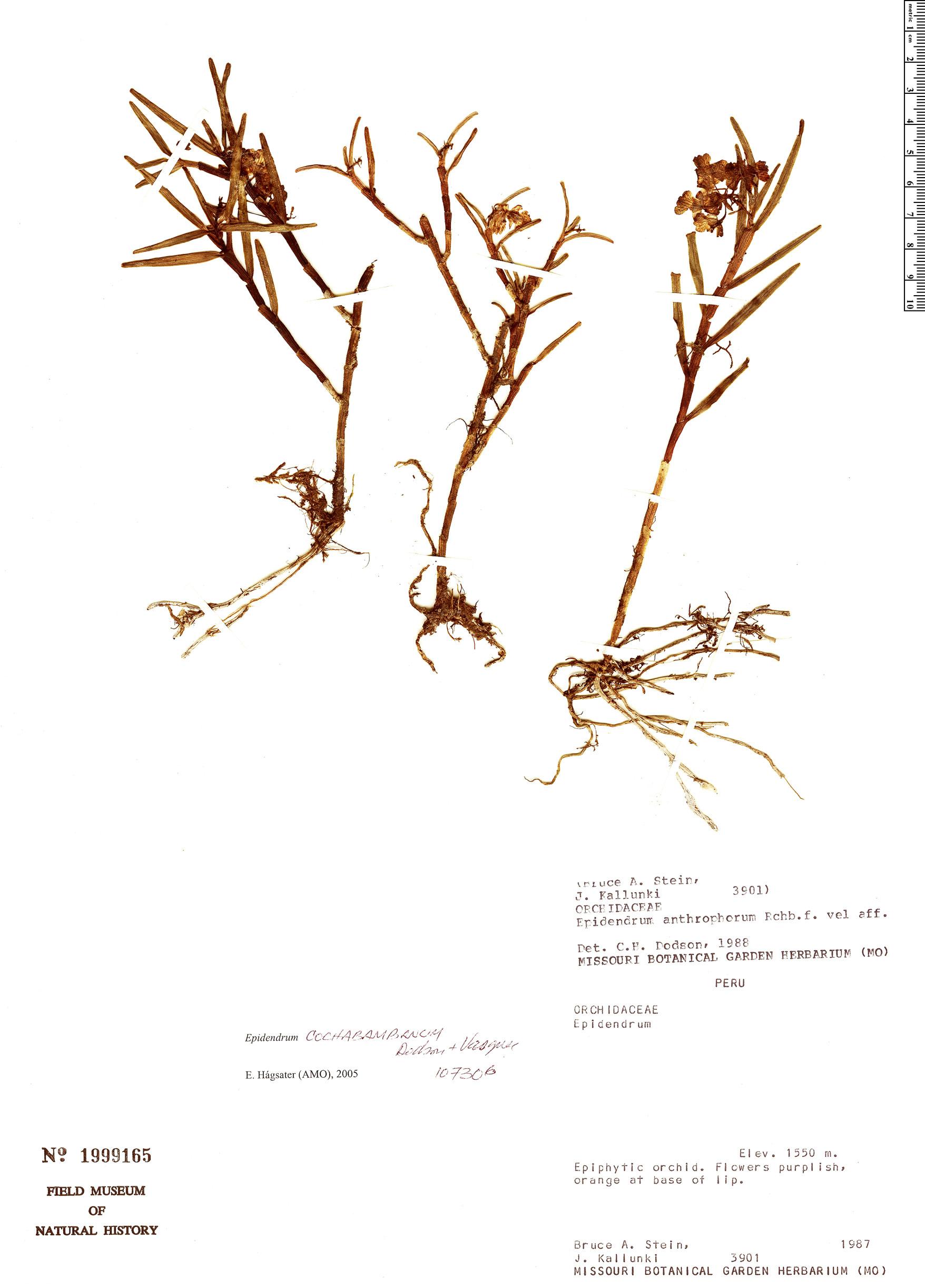 Specimen: Epidendrum cochabambanum