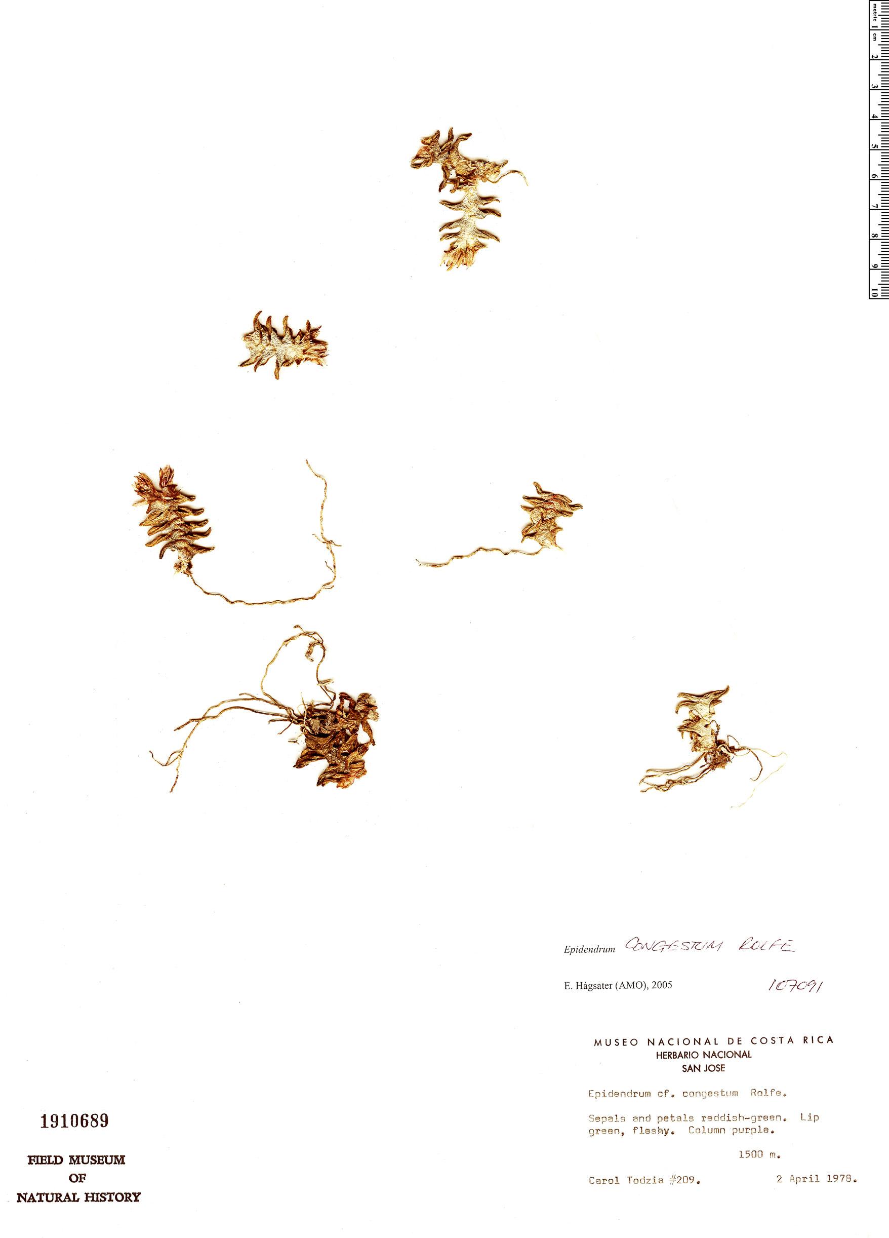 Specimen: Epidendrum congestum