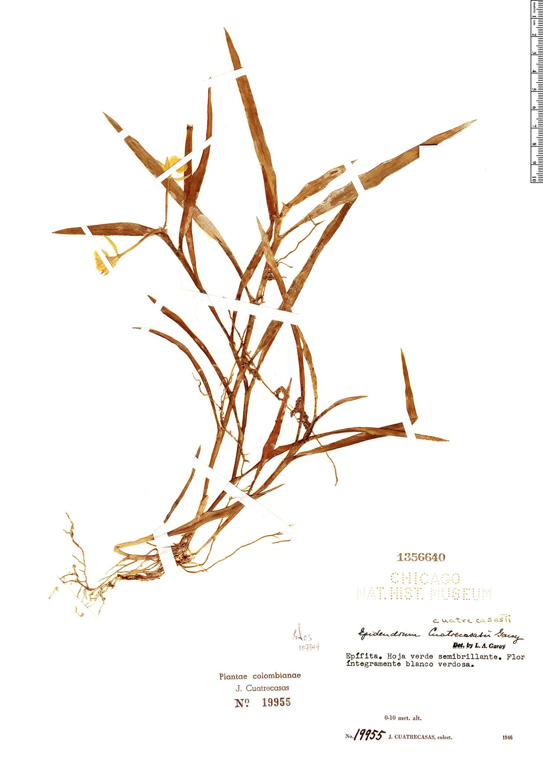 Specimen: Epidendrum cuatrecasasii