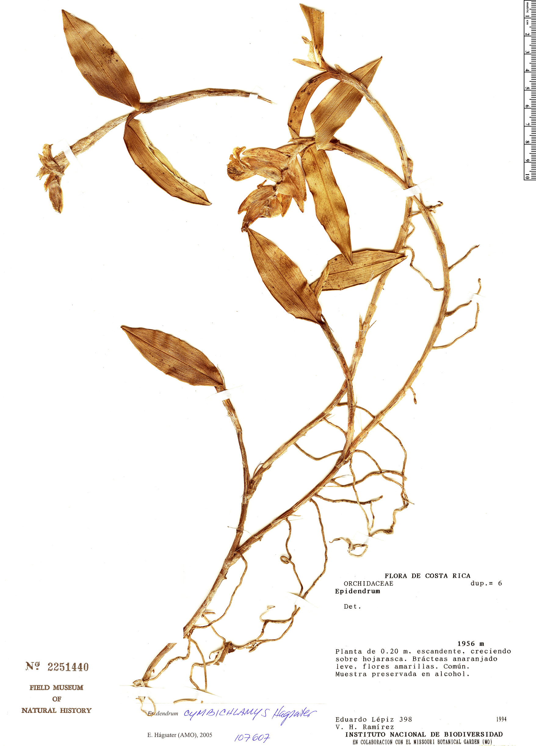 Specimen: Epidendrum polychlamys