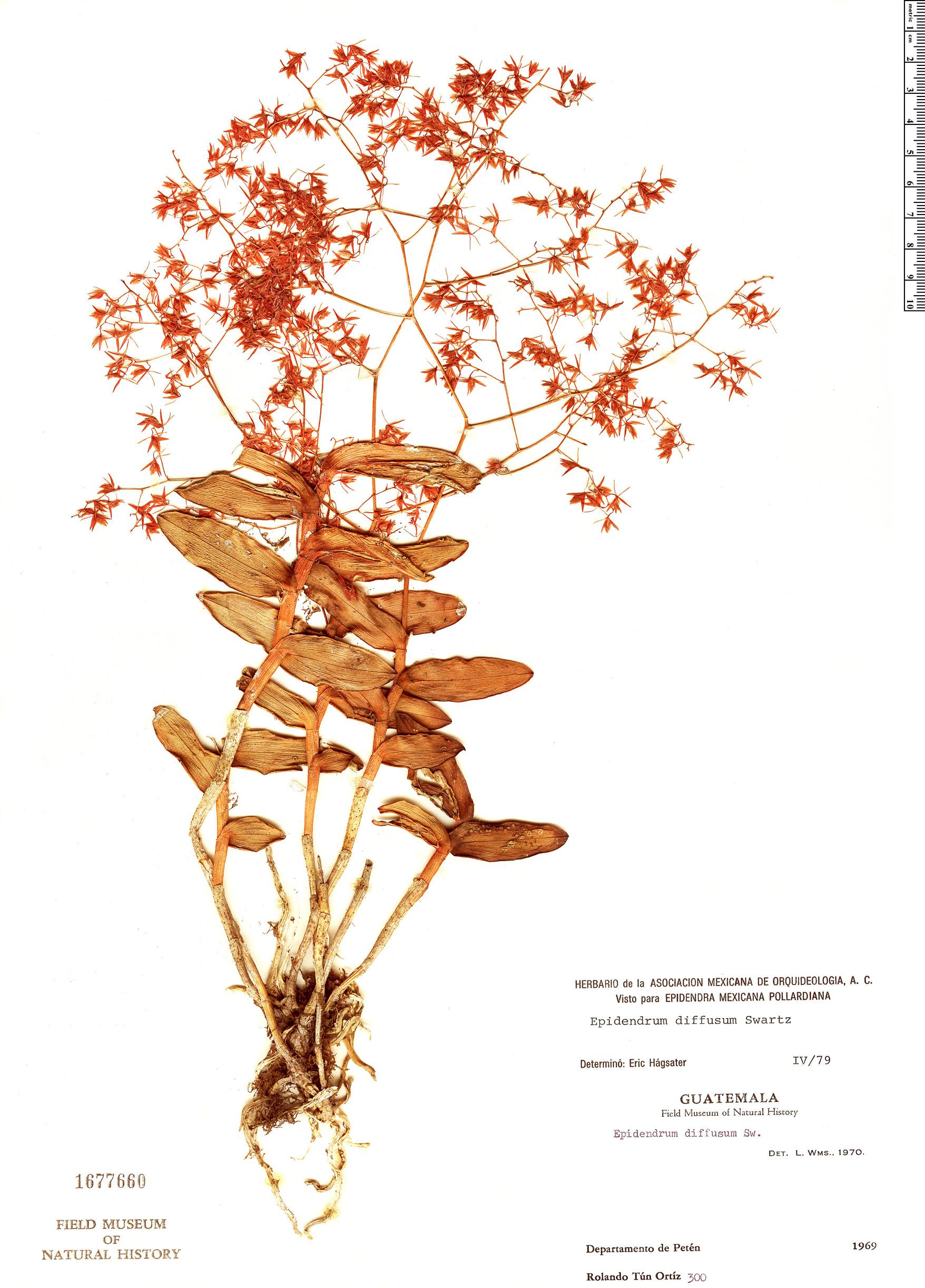 Specimen: Epidendrum diffusum