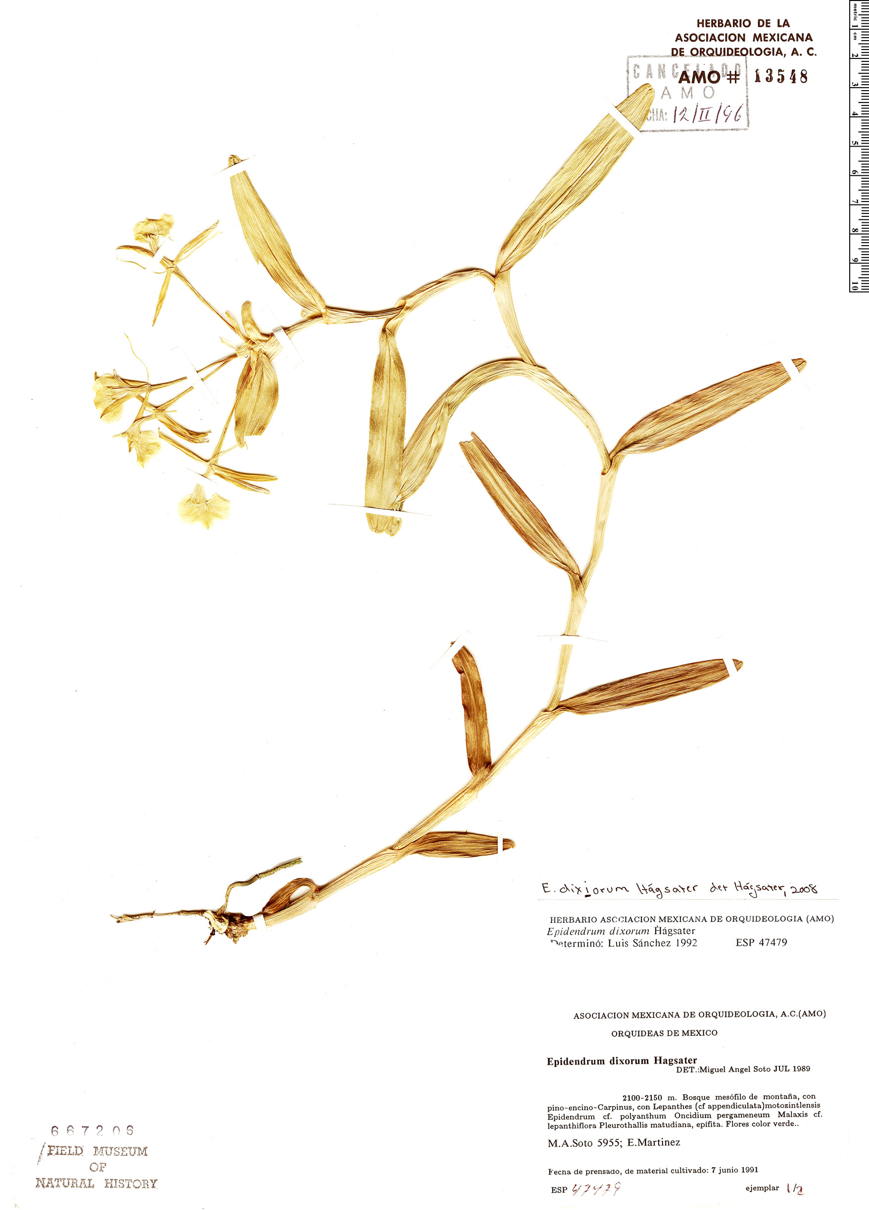 Specimen: Epidendrum dixiorum