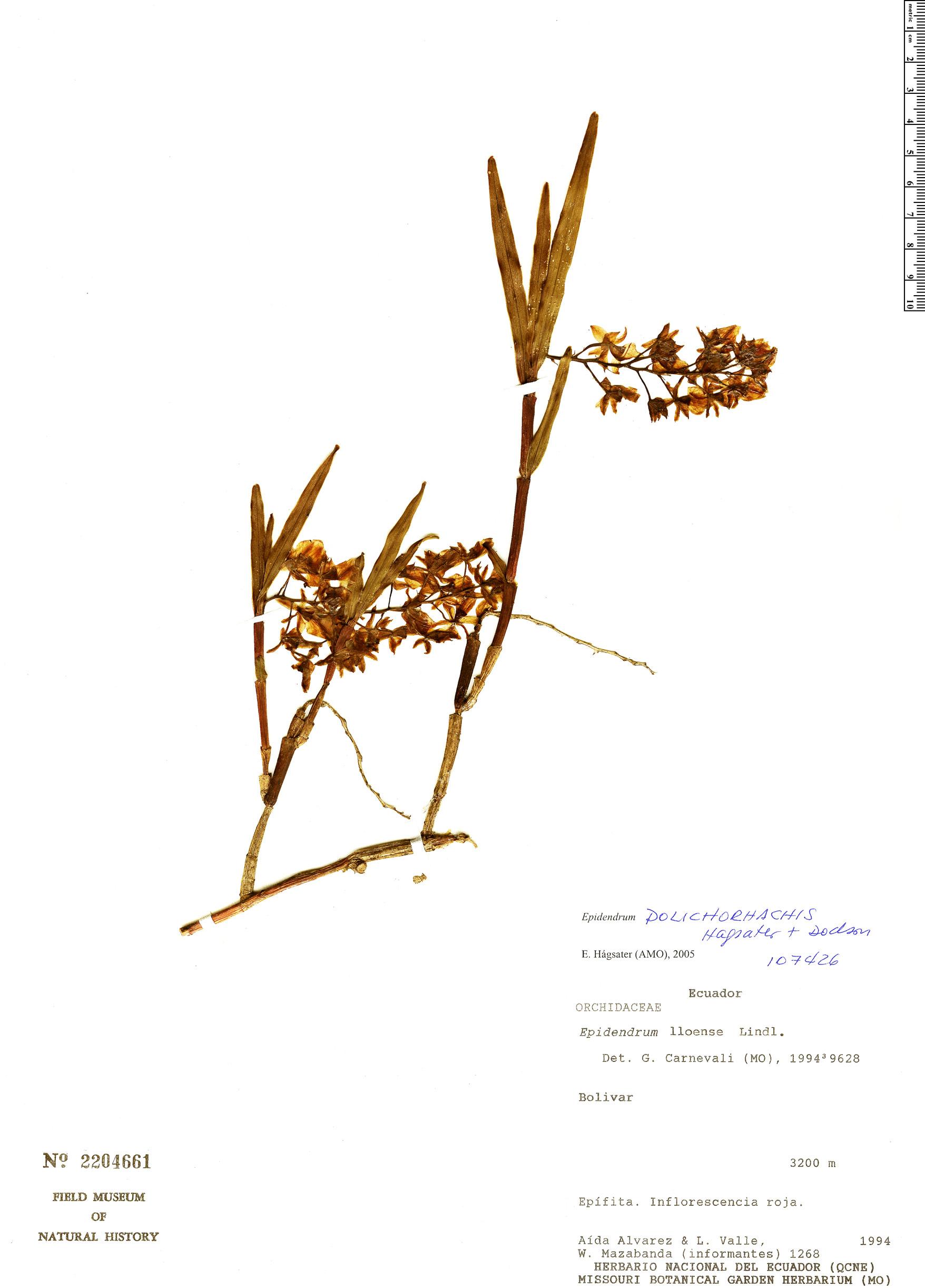 Specimen: Epidendrum dolichorhachis