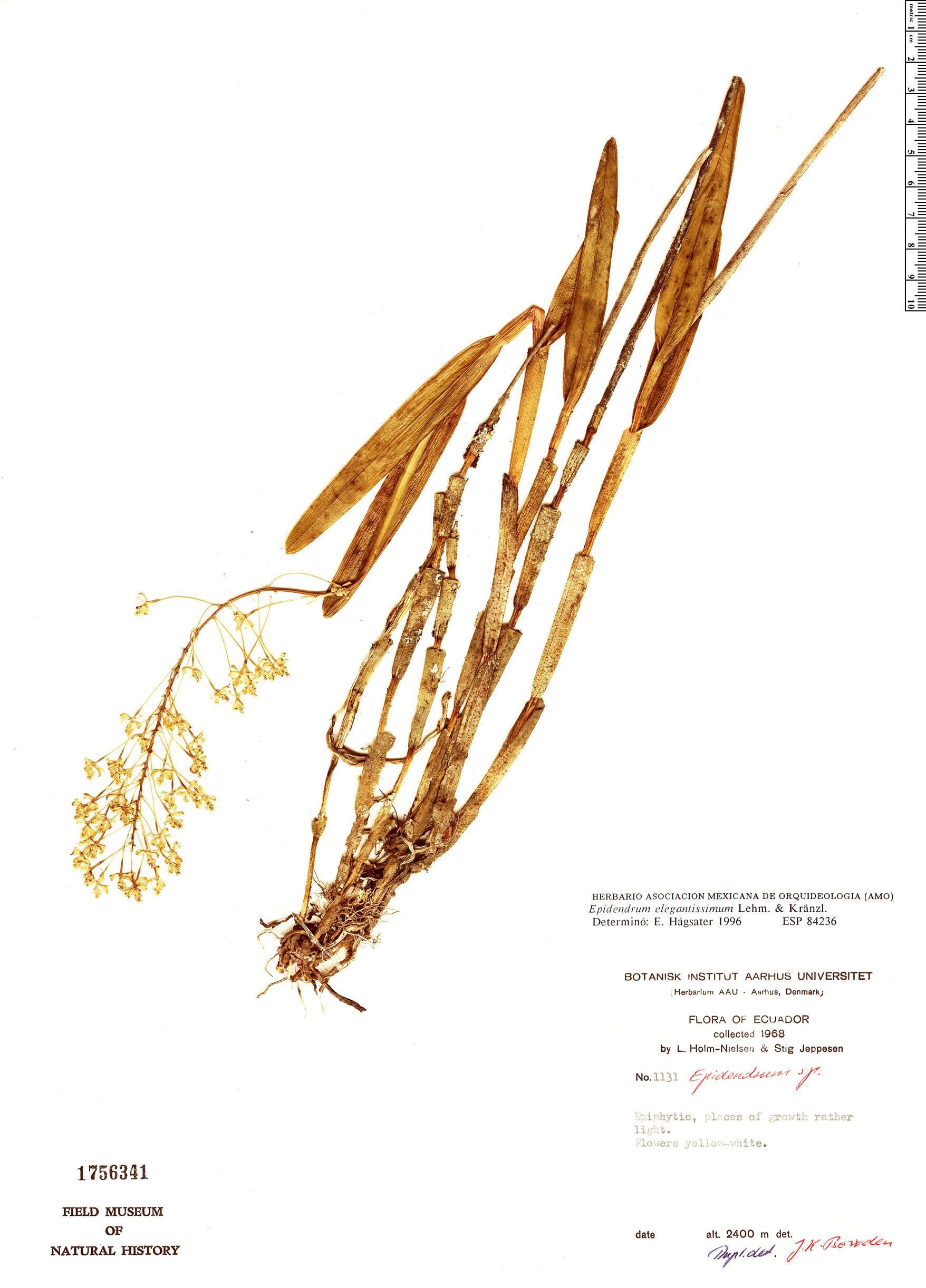 Specimen: Epidendrum elegantissimum