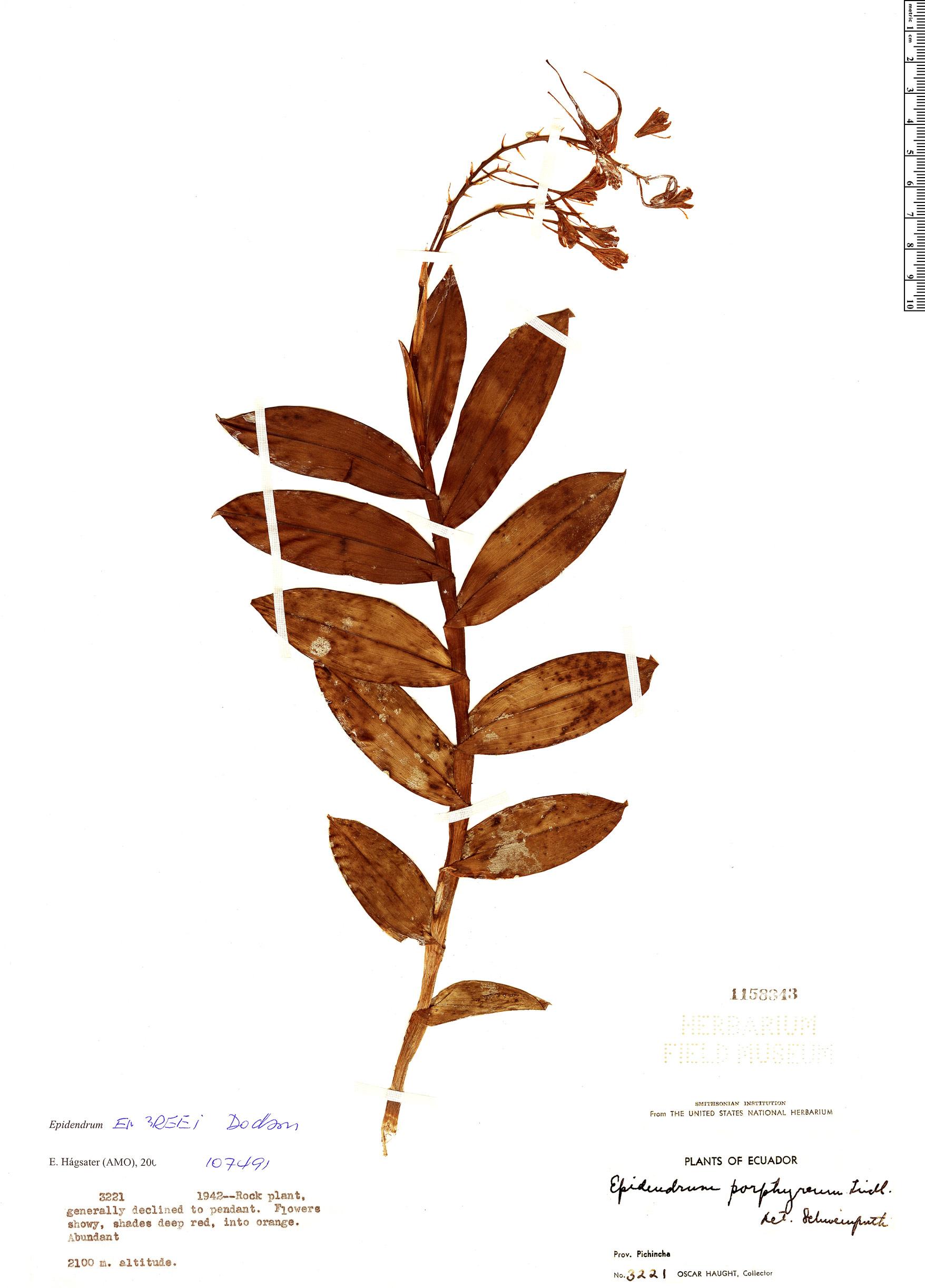 Specimen: Epidendrum embreei