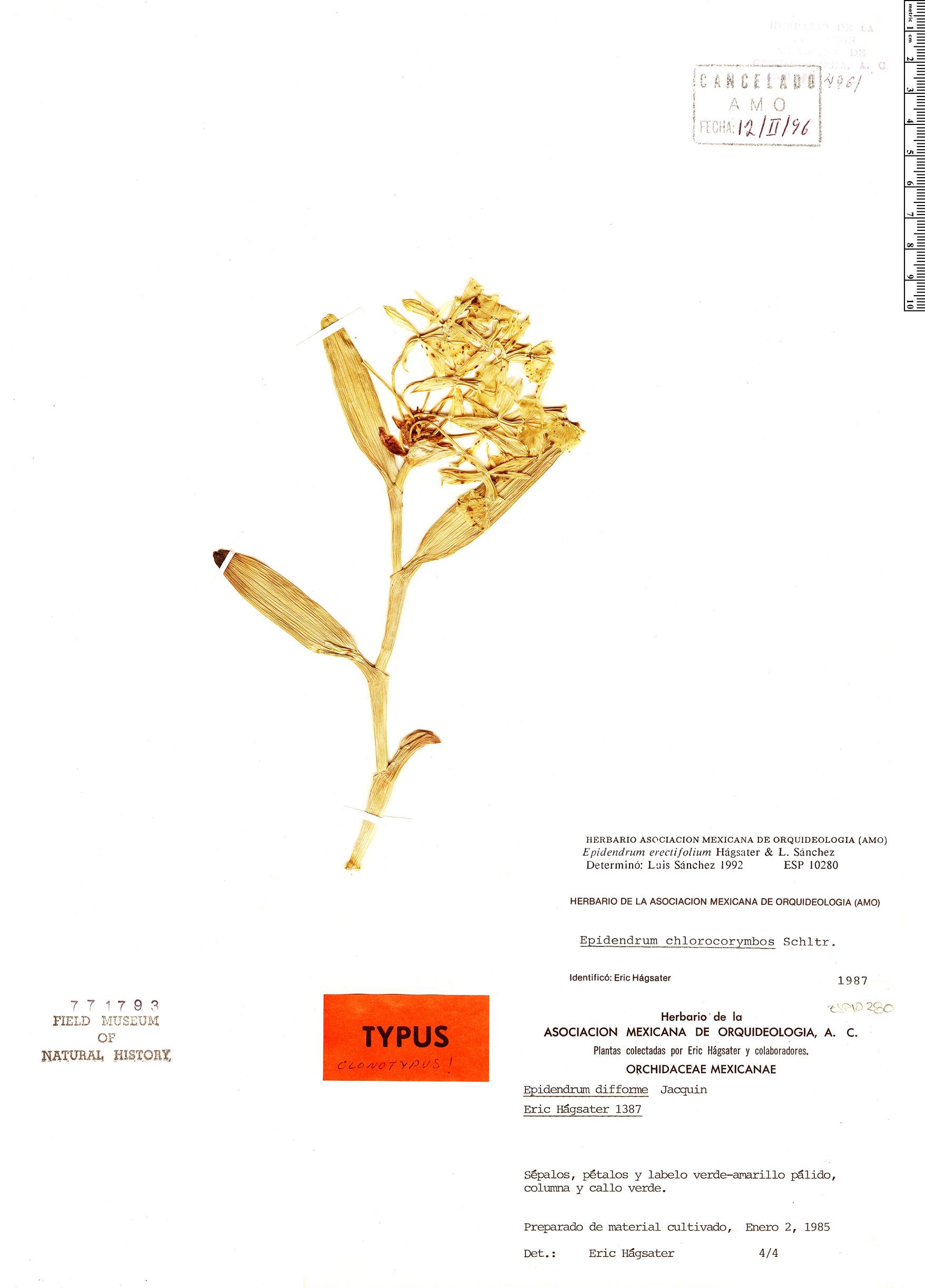 Specimen: Epidendrum erectifolium