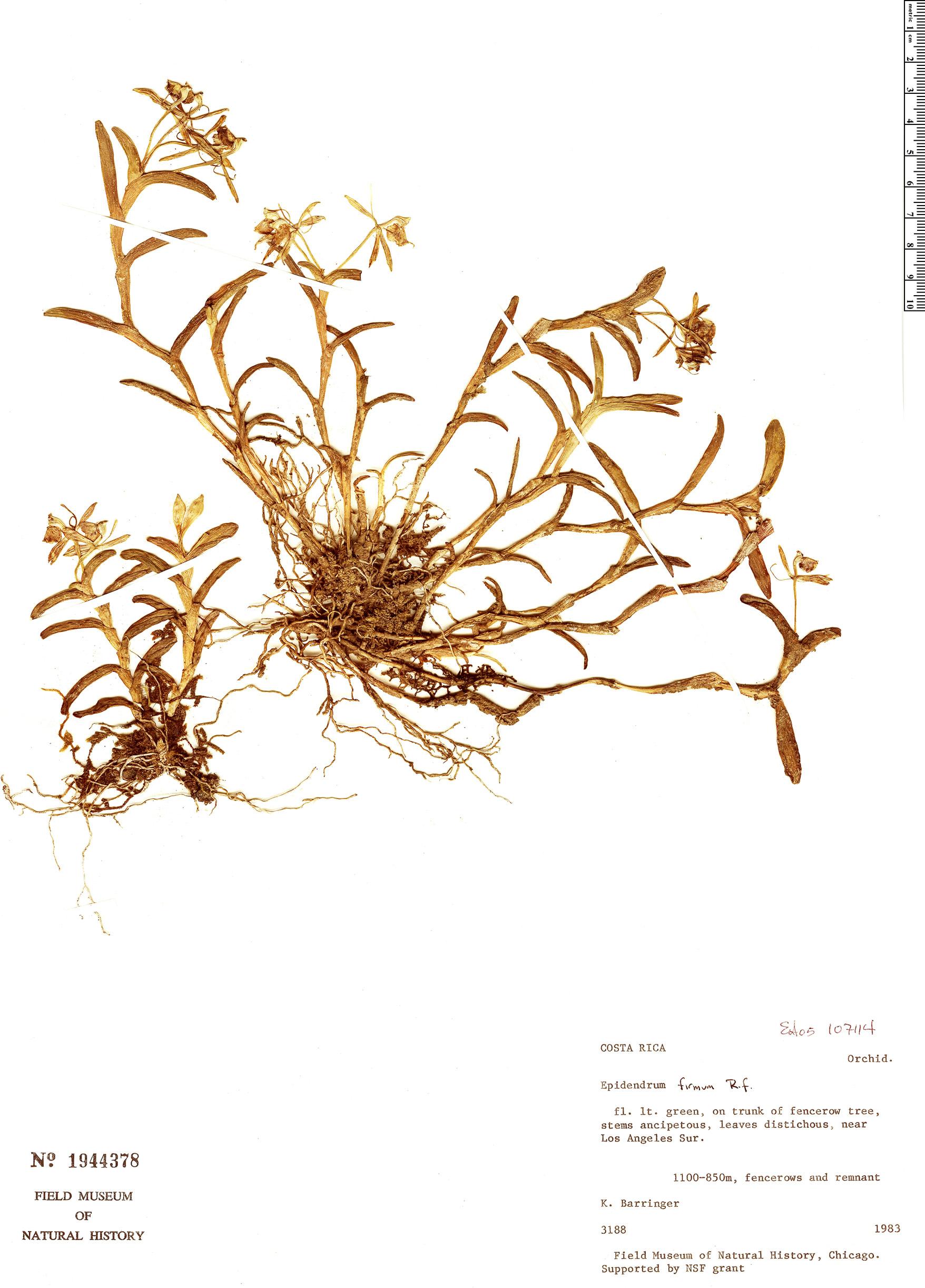 Specimen: Epidendrum firmum