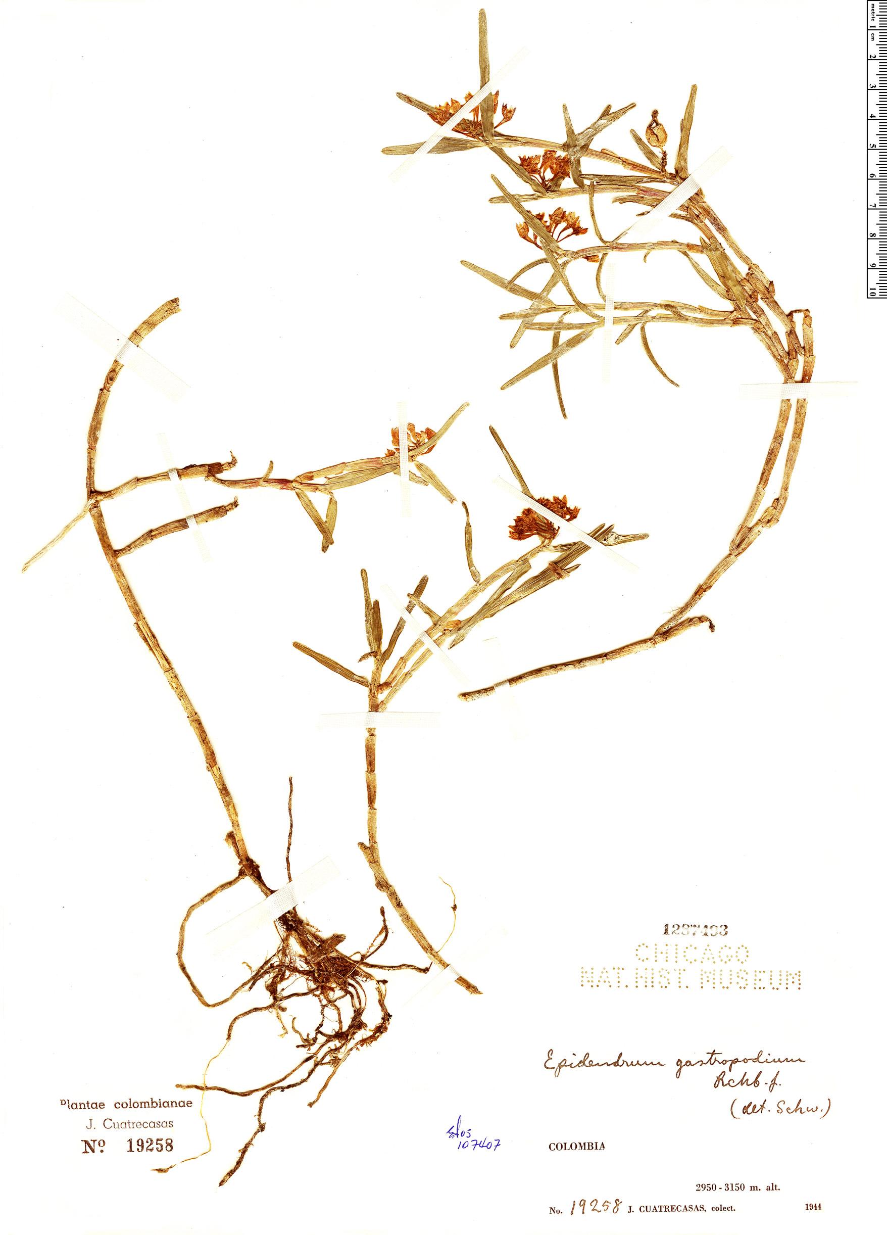 Specimen: Epidendrum gastropodium