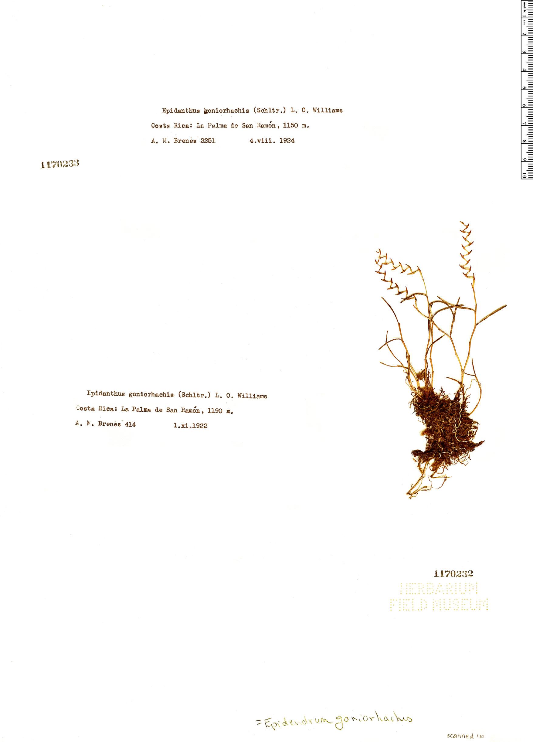 Specimen: Epidendrum goniorhachis