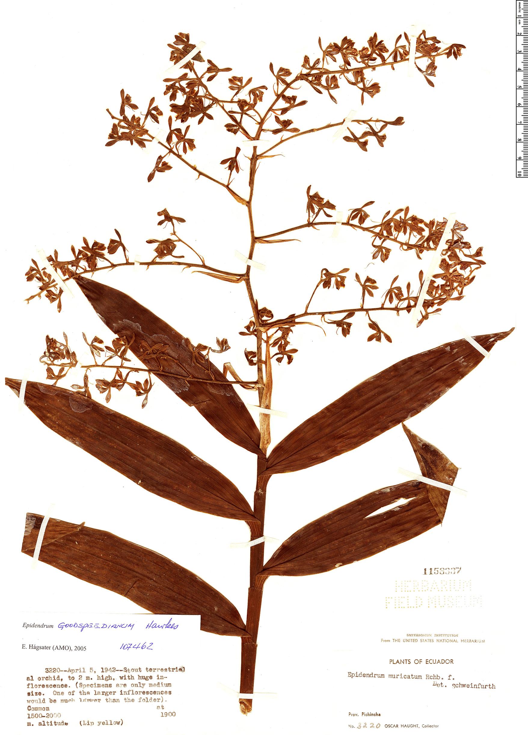 Specimen: Epidendrum goodspeedianum