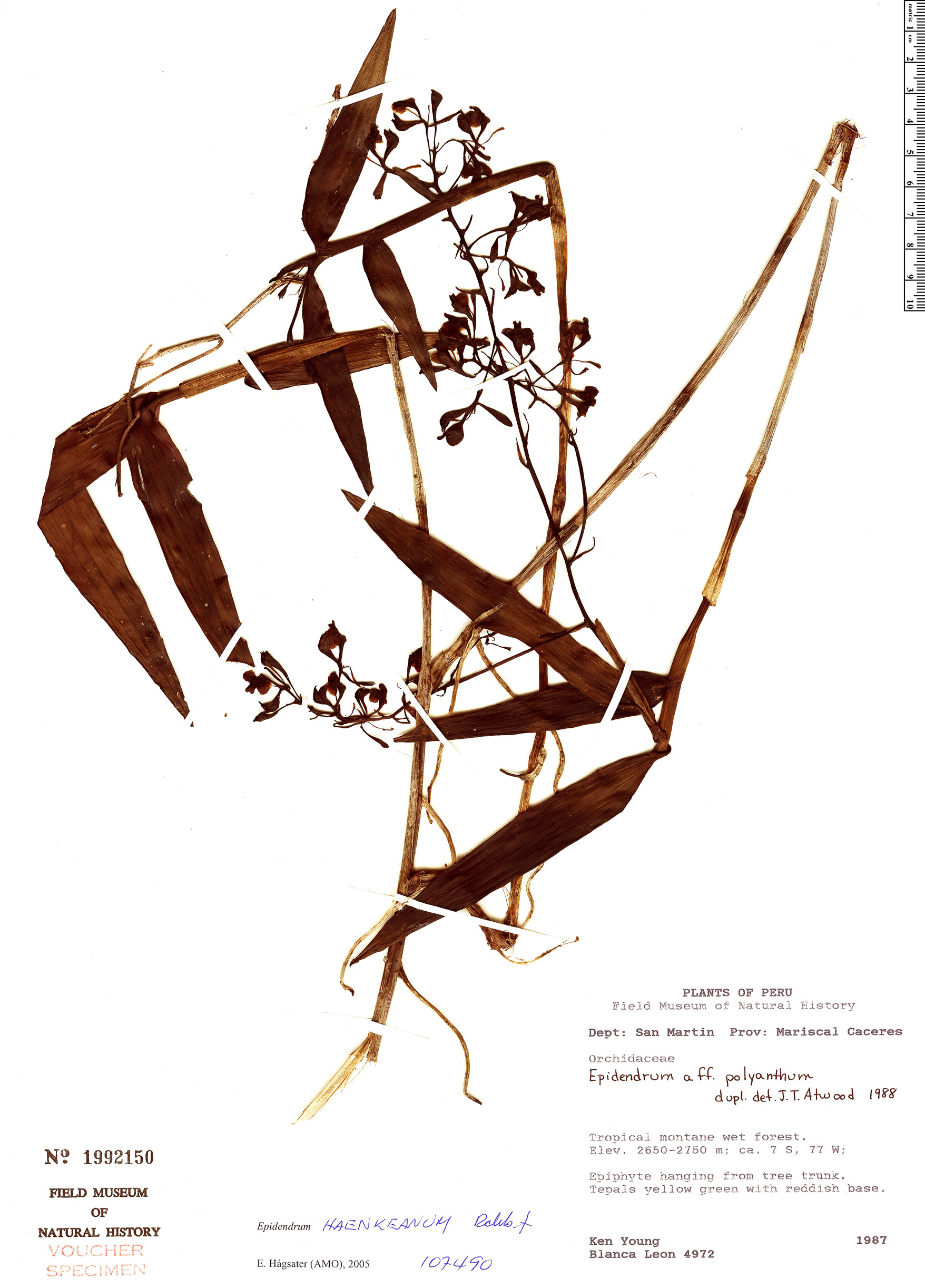 Espécime: Epidendrum haenkeanum
