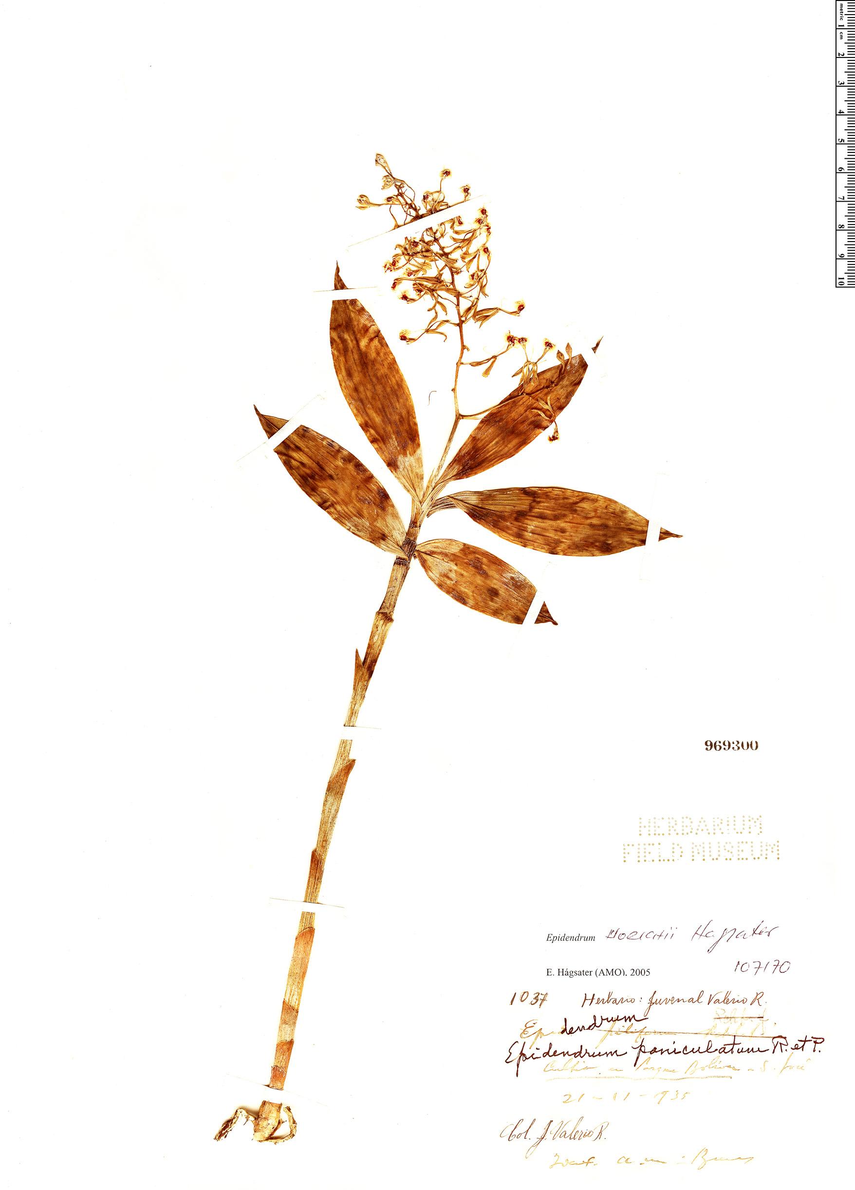 Specimen: Epidendrum horichii