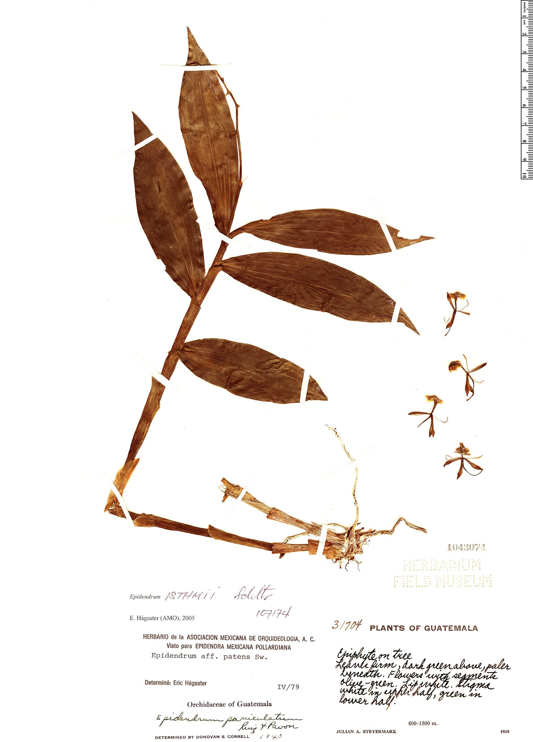 Specimen: Epidendrum isthmi