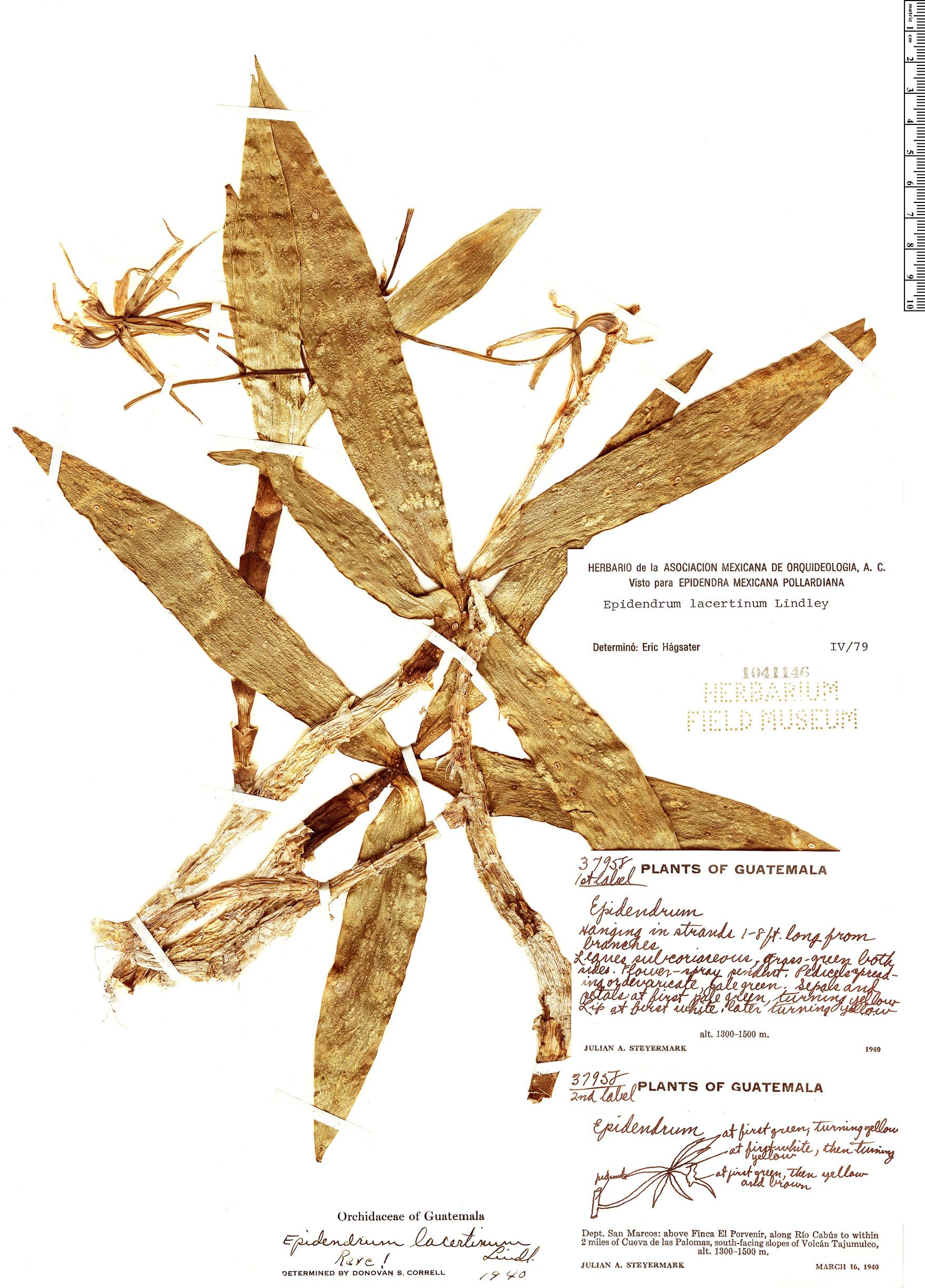 Specimen: Epidendrum lacertinum