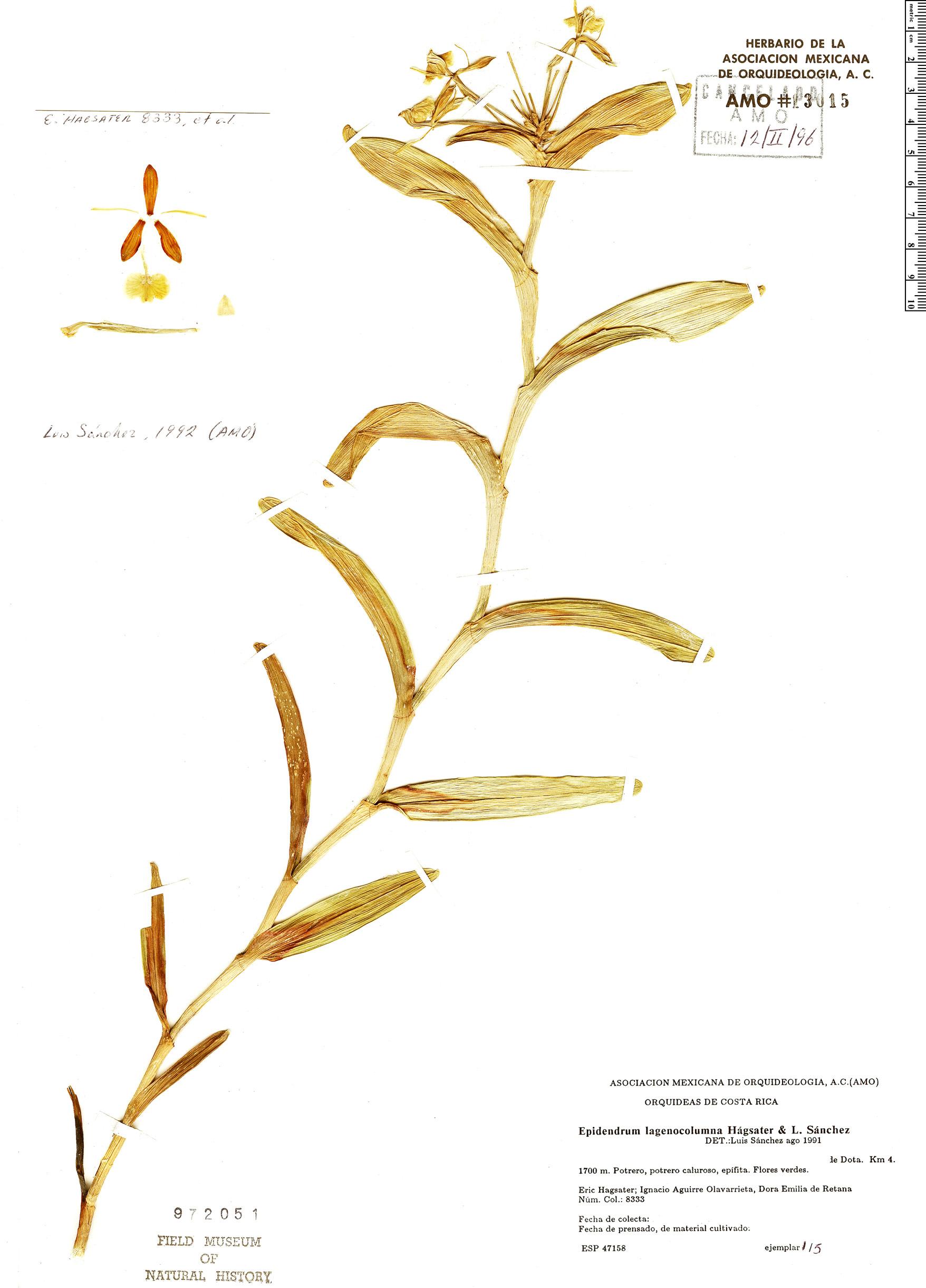 Specimen: Epidendrum lagenocolumna