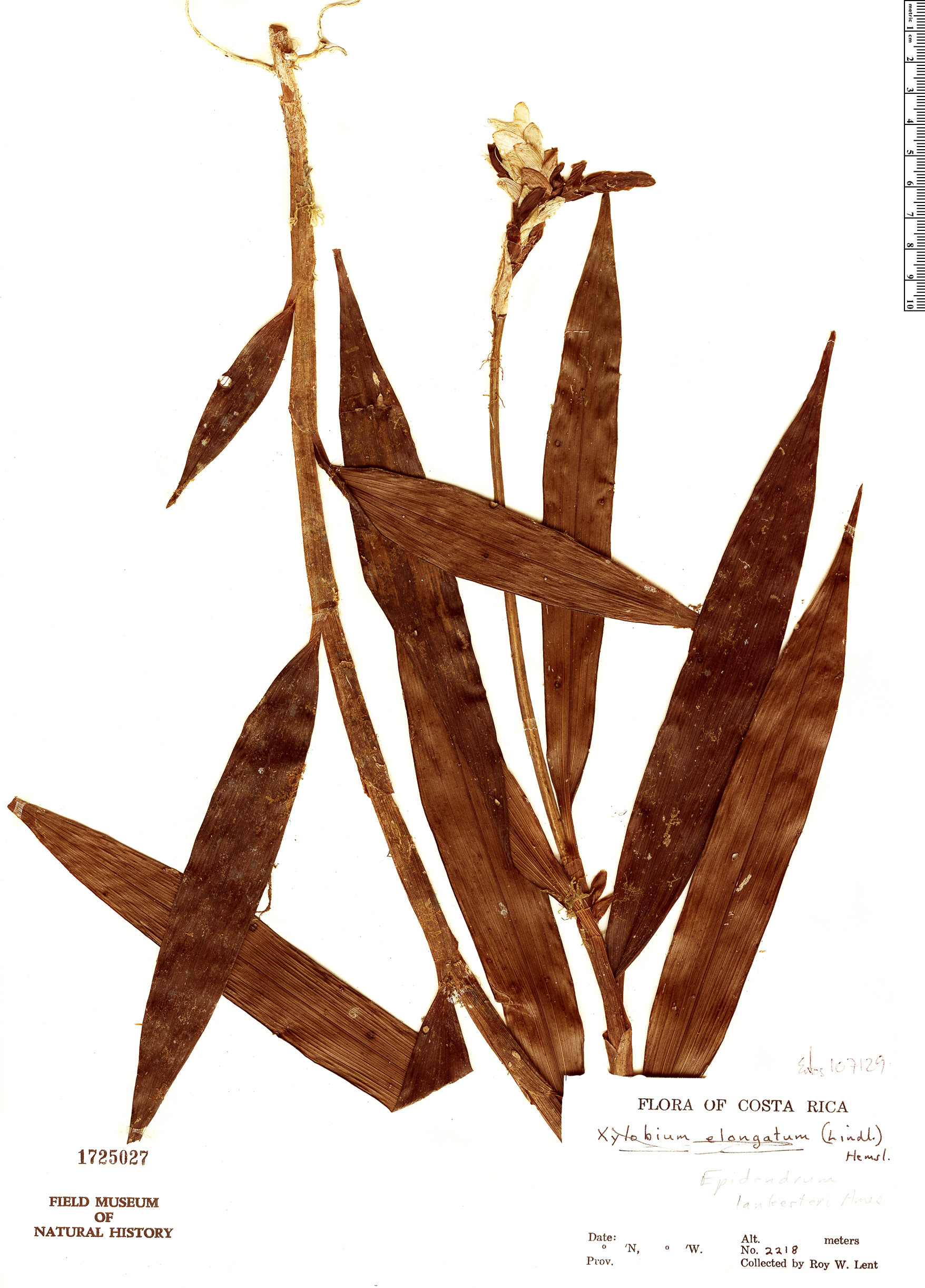 Specimen: Epidendrum lankesteri