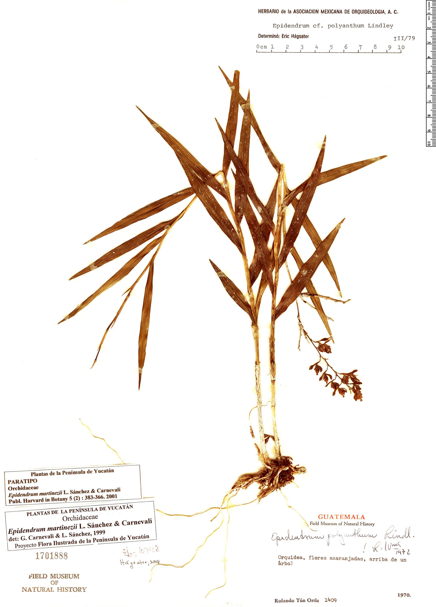 Specimen: Epidendrum martinezii
